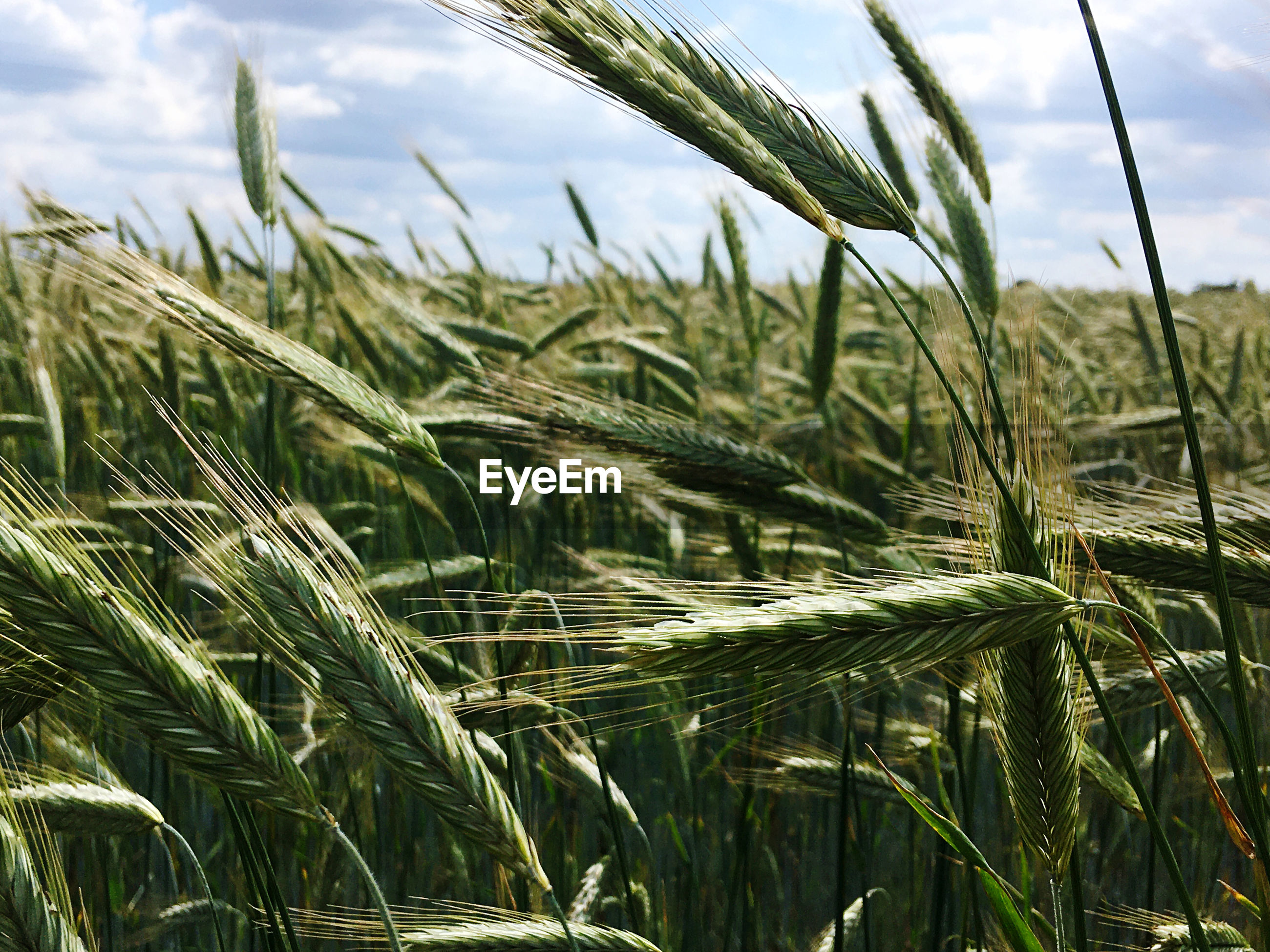 Close-up of grain growing on field against sky