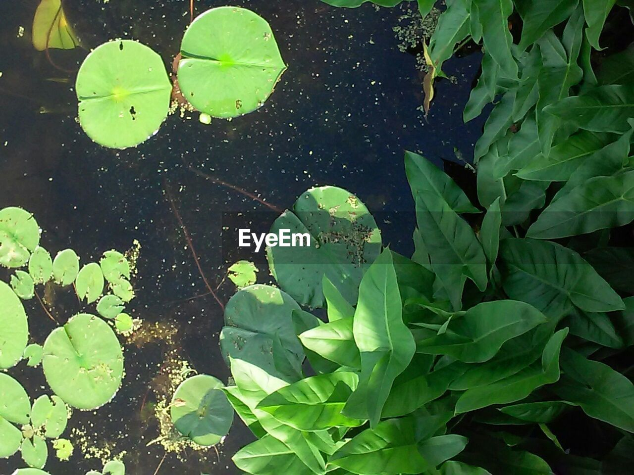leaf, water, floating on water, nature, water lily, green color, outdoors, lily pad, day, high angle view, beauty in nature, growth, plant, no people, close-up, fragility, freshness, lotus water lily, animal themes, flower head