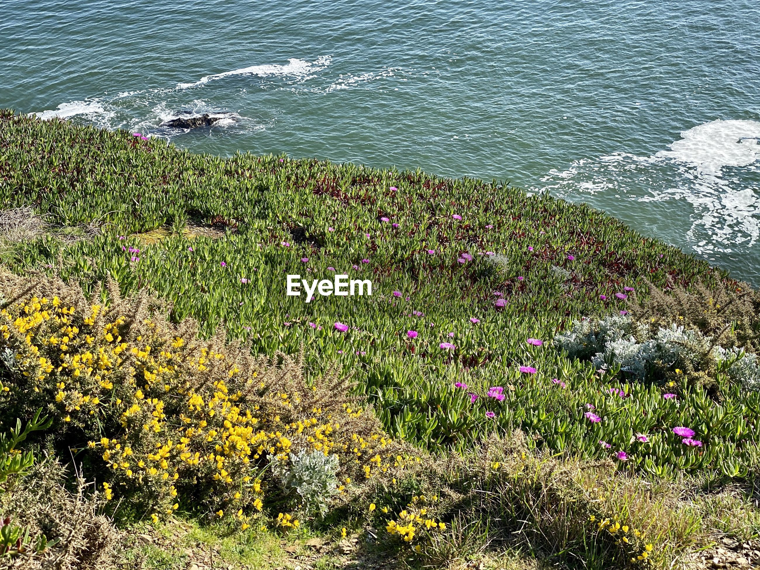 HIGH ANGLE VIEW OF FLOWERING PLANTS AT SEA SHORE