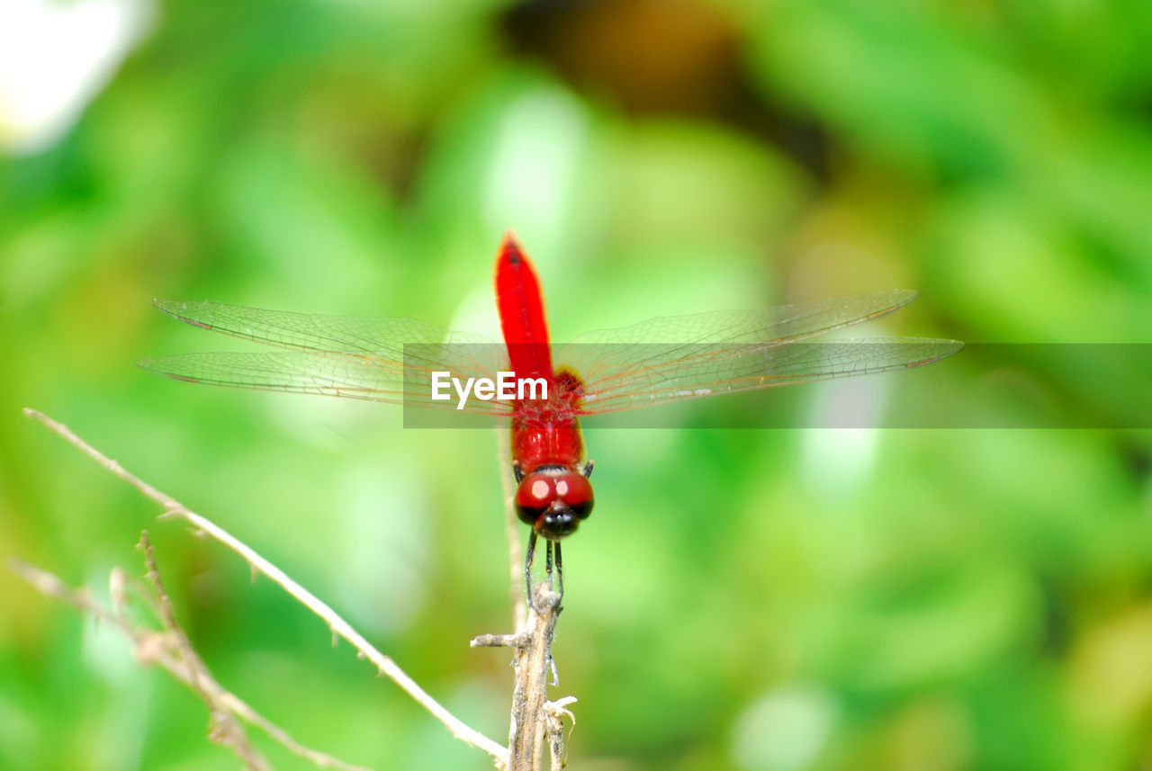 red, invertebrate, animals in the wild, insect, animal wildlife, one animal, animal, animal themes, close-up, focus on foreground, plant, dragonfly, day, nature, green color, no people, animal wing, outdoors, beauty in nature, selective focus