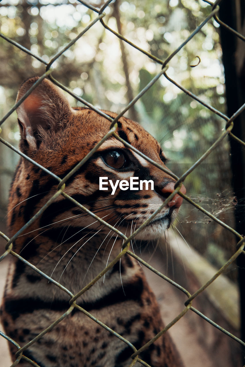 animal themes, one animal, mammal, animal, focus on foreground, fence, feline, close-up, vertebrate, day, animal wildlife, no people, looking away, looking, barrier, boundary, animal body part, cat, animals in the wild, chainlink fence, whisker, outdoors, animal head