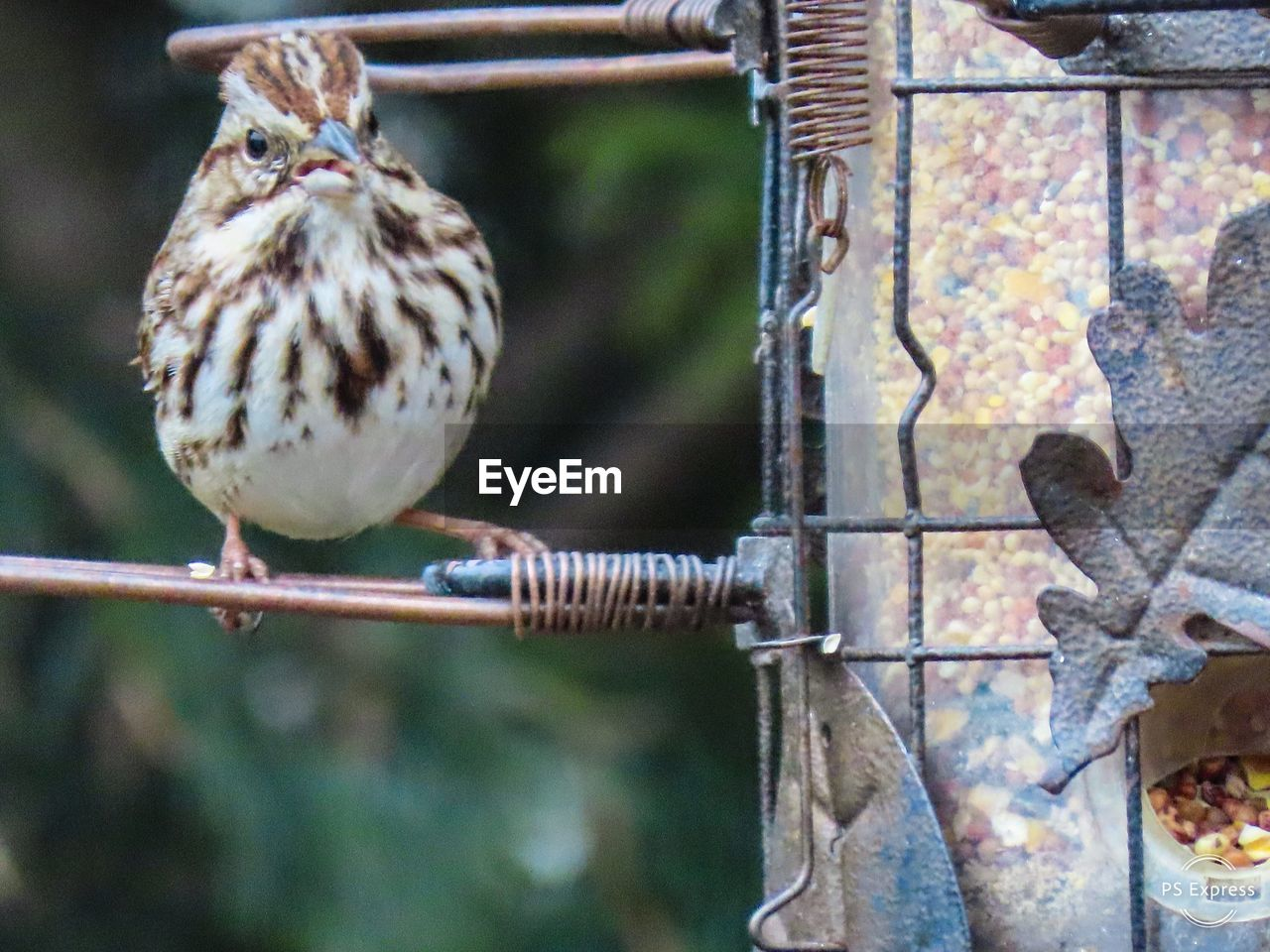 animal themes, bird, animal, vertebrate, animal wildlife, animals in the wild, one animal, day, metal, no people, focus on foreground, nature, perching, close-up, selective focus, outdoors, animals in captivity, branch, cage, sparrow