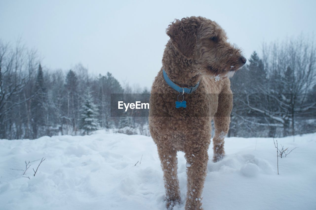 Goldendoodle standing on snowy field against sky during snowfall