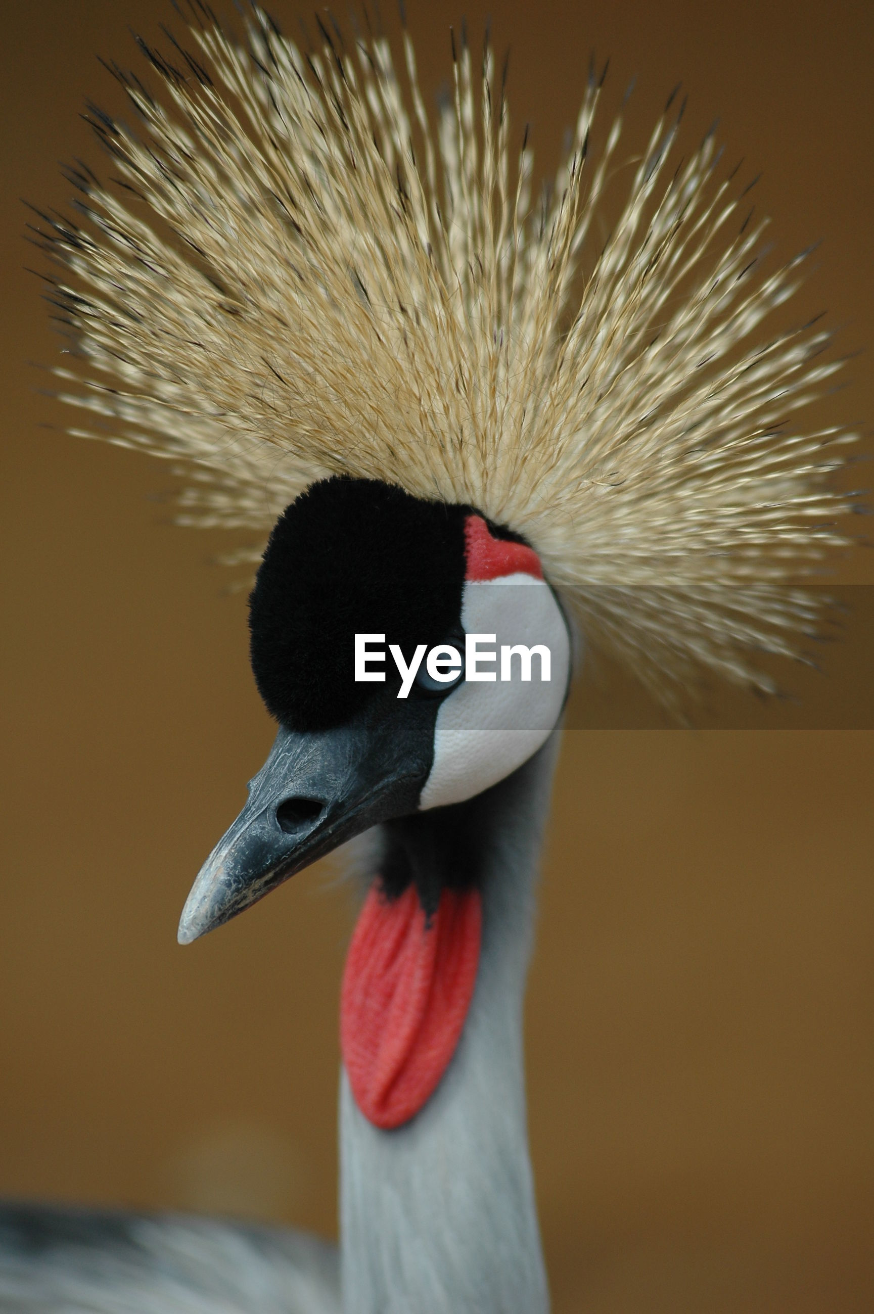 Close-up of grey crowned crane