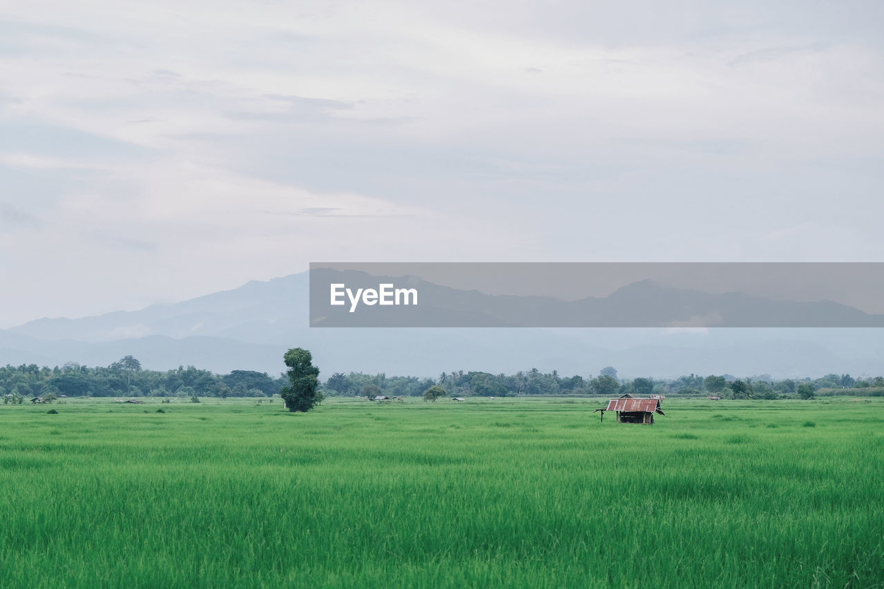 agriculture, field, farm, landscape, nature, crop, scenics, rural scene, no people, beauty in nature, tranquil scene, growth, grass, mountain, tranquility, green color, rice paddy, cereal plant, day, outdoors, sky
