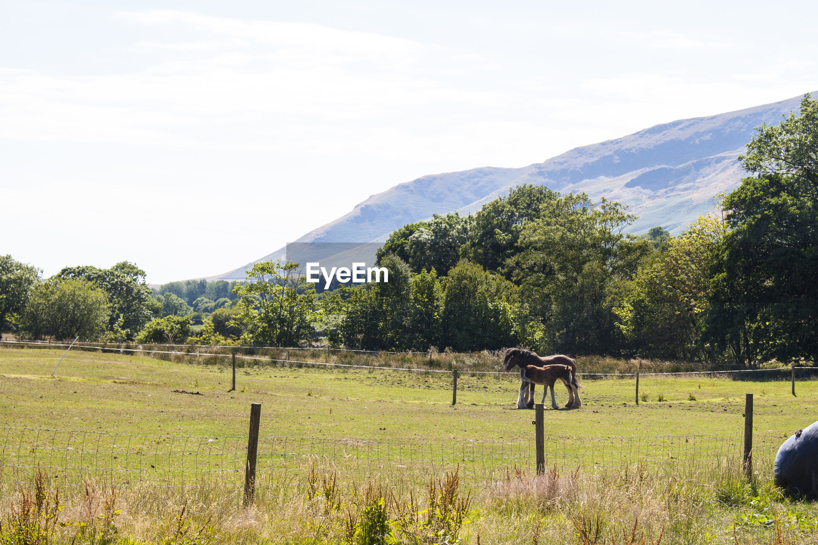 Scenic view of horses in grassy field against sky