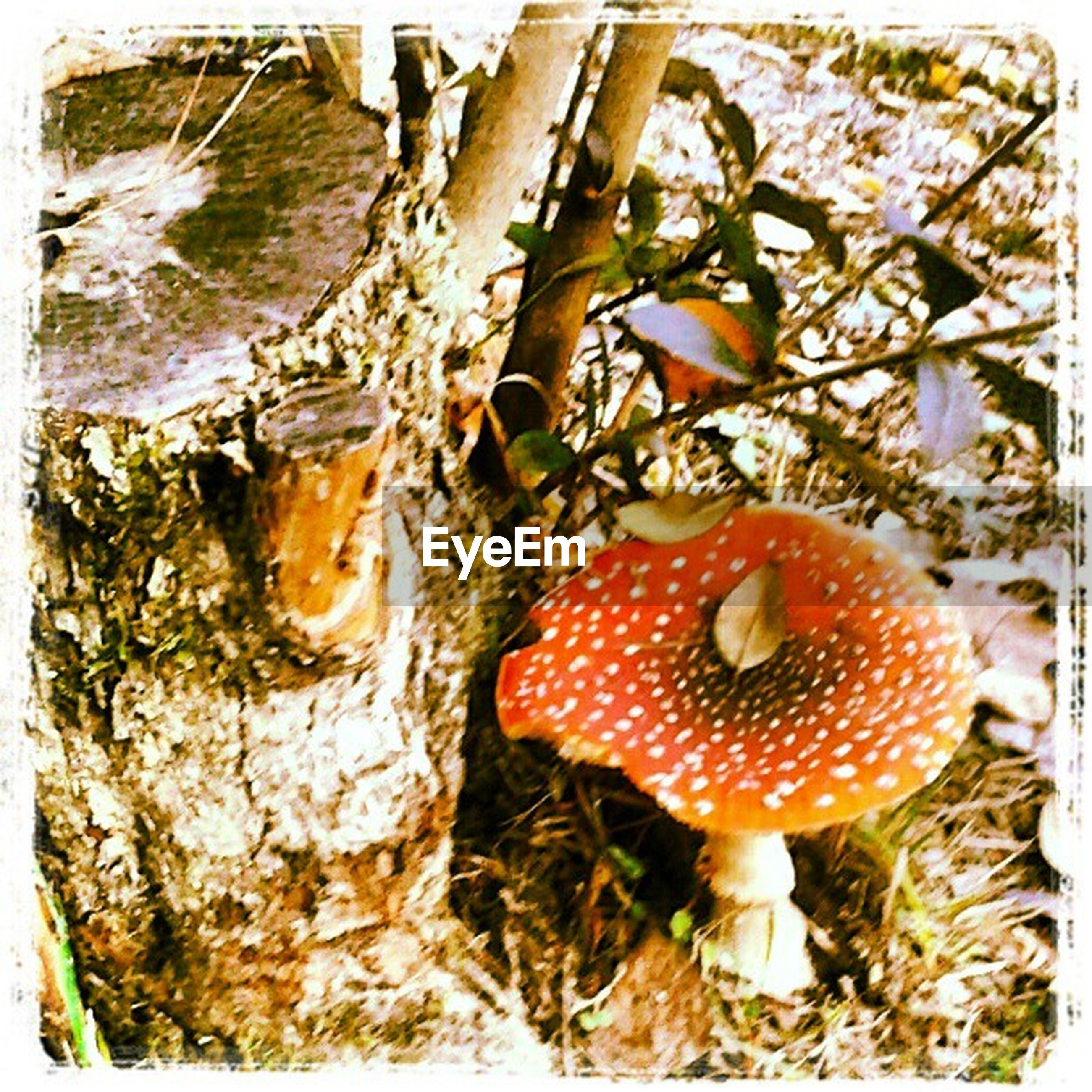 transfer print, auto post production filter, red, close-up, food and drink, mushroom, growth, fungus, no people, nature, day, tree, food, tree trunk, freshness, outdoors, plant, high angle view, sunlight, vegetable