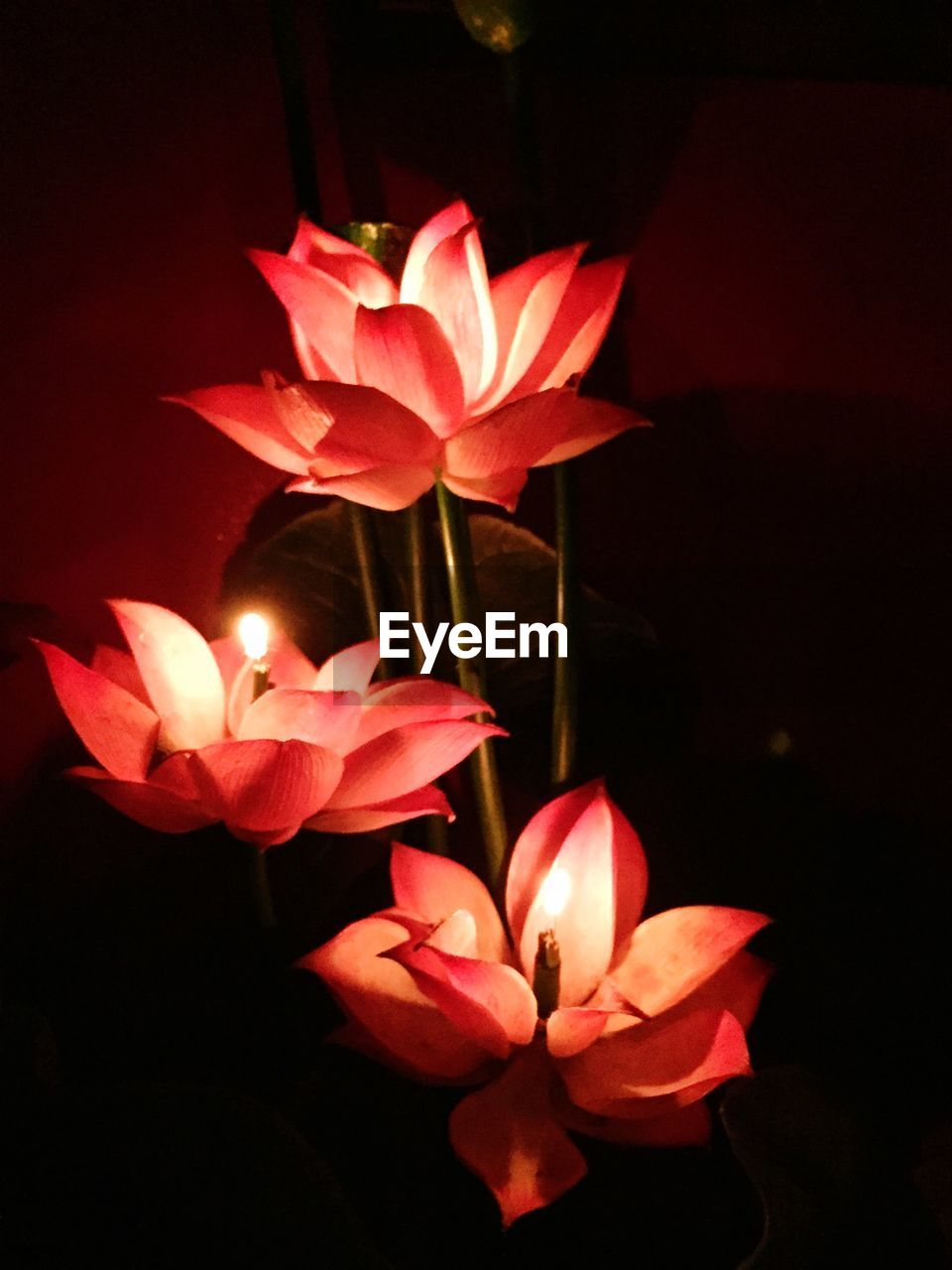 flower, petal, growth, beauty in nature, night, flower head, fragility, nature, freshness, plant, no people, blooming, close-up, outdoors