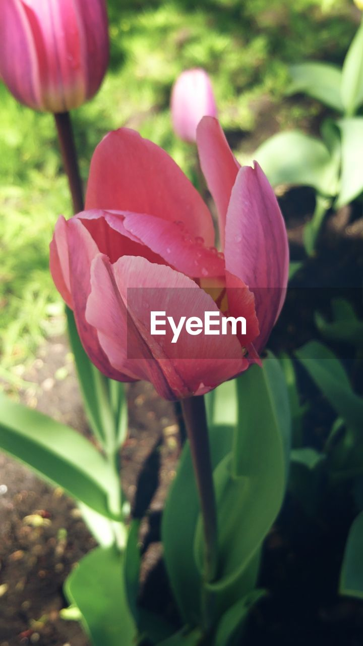 flowering plant, flower, plant, freshness, beauty in nature, vulnerability, fragility, petal, growth, close-up, inflorescence, flower head, nature, pink color, day, focus on foreground, no people, tulip, plant stem, outdoors, springtime