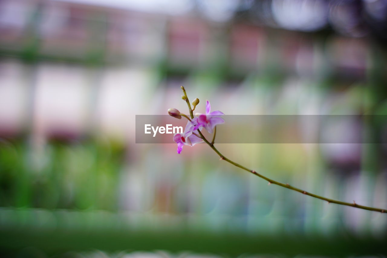 beauty in nature, vulnerability, fragility, flower, plant, flowering plant, freshness, growth, close-up, petal, pink color, focus on foreground, selective focus, no people, nature, day, flower head, outdoors, inflorescence, plant stem, springtime, purple