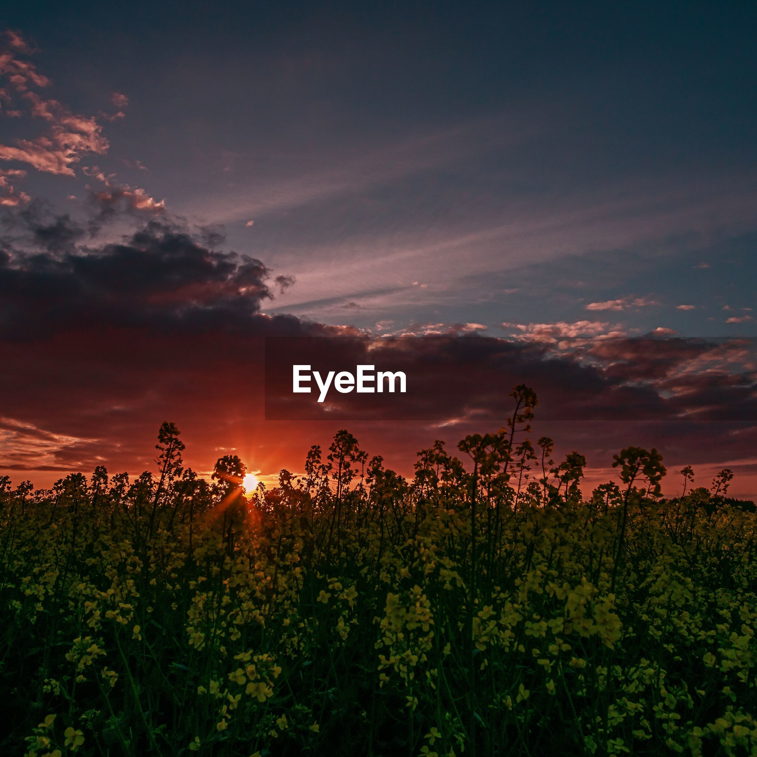 PLANTS GROWING ON FIELD AGAINST SKY AT SUNSET