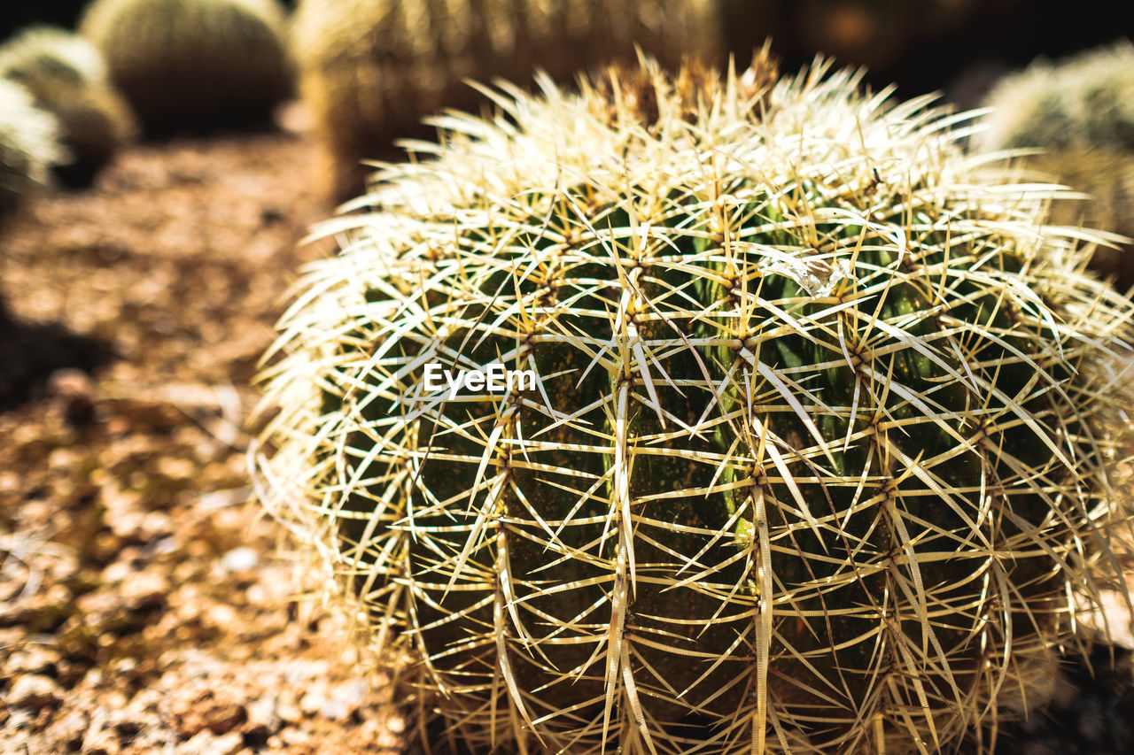 cactus, succulent plant, close-up, thorn, focus on foreground, sharp, day, plant, spiked, no people, barrel cactus, nature, growth, sunlight, sign, beauty in nature, field, outdoors, natural pattern, warning sign, arid climate, spiky