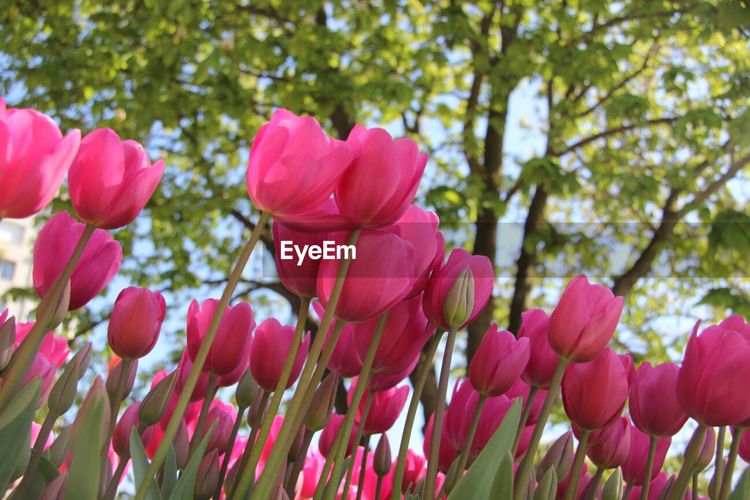 flower, freshness, growth, fragility, petal, pink color, beauty in nature, focus on foreground, nature, blooming, flower head, close-up, plant, stem, bud, red, day, pink, outdoors, blossom