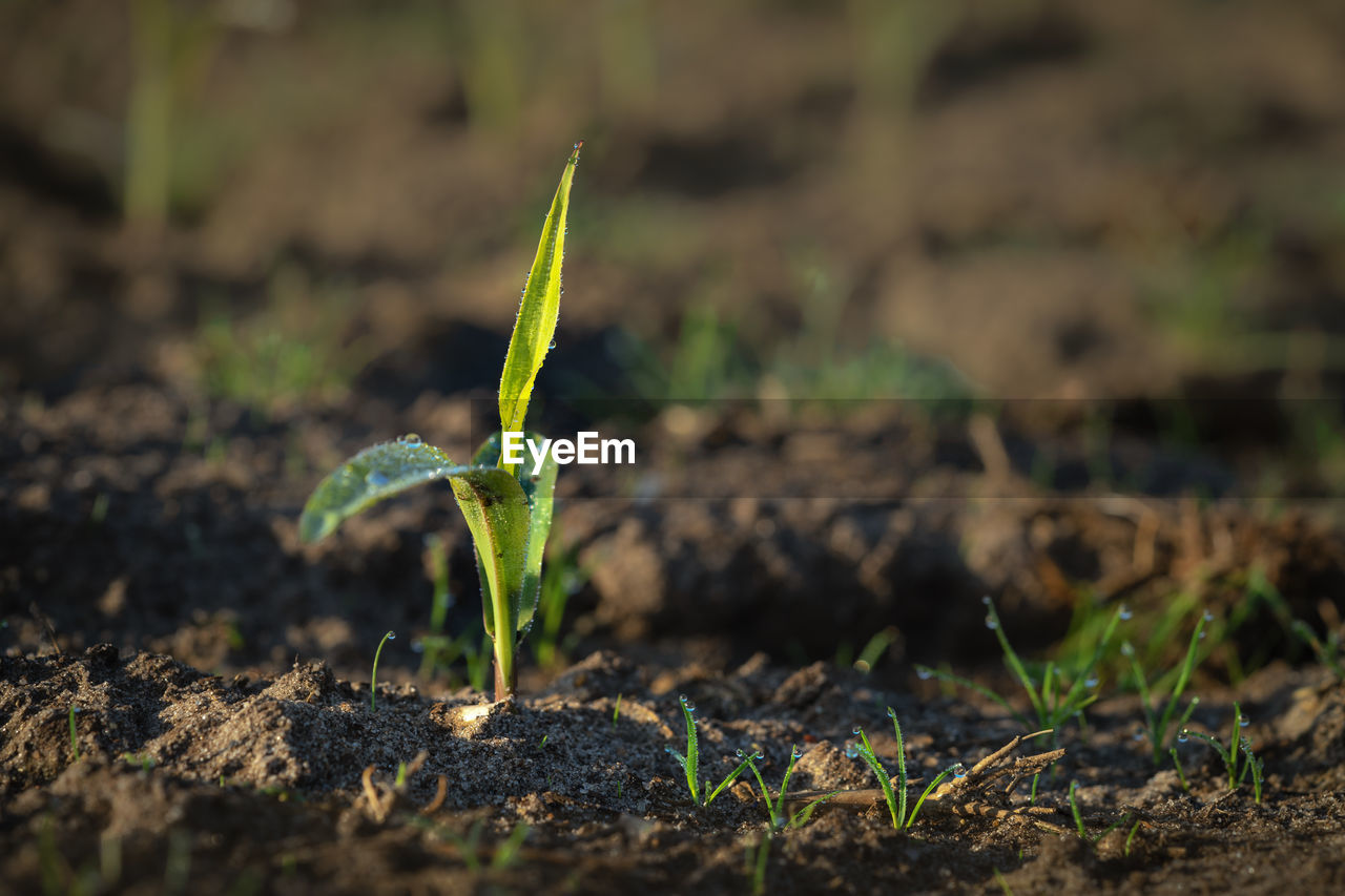 growth, plant, nature, green color, close-up, beginnings, selective focus, seedling, land, field, day, beauty in nature, no people, plant part, leaf, dirt, new life, outdoors, freshness, vulnerability, mud