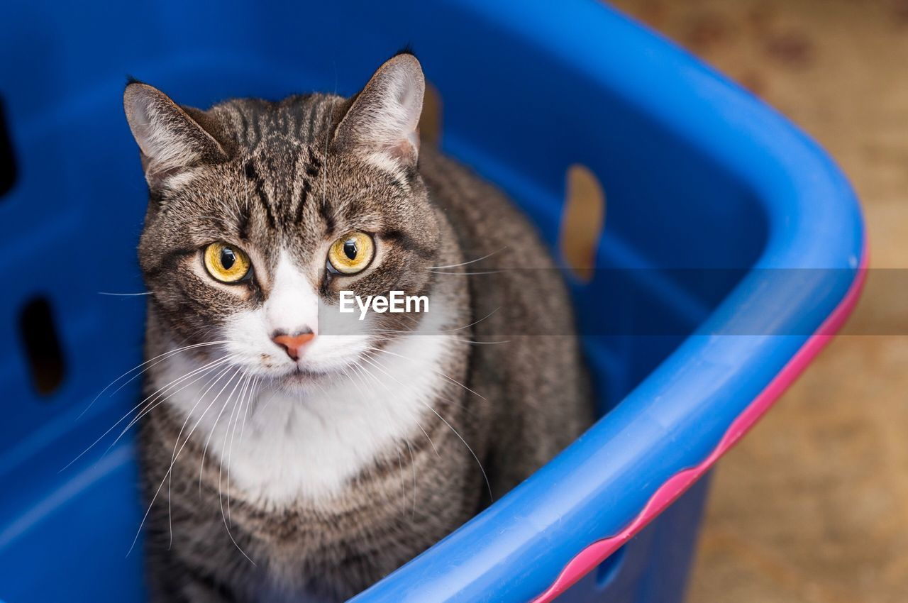 cat, domestic cat, feline, one animal, animal themes, animal, pets, domestic animals, domestic, blue, mammal, vertebrate, looking at camera, no people, portrait, focus on foreground, whisker, day, close-up, high angle view, animal eye
