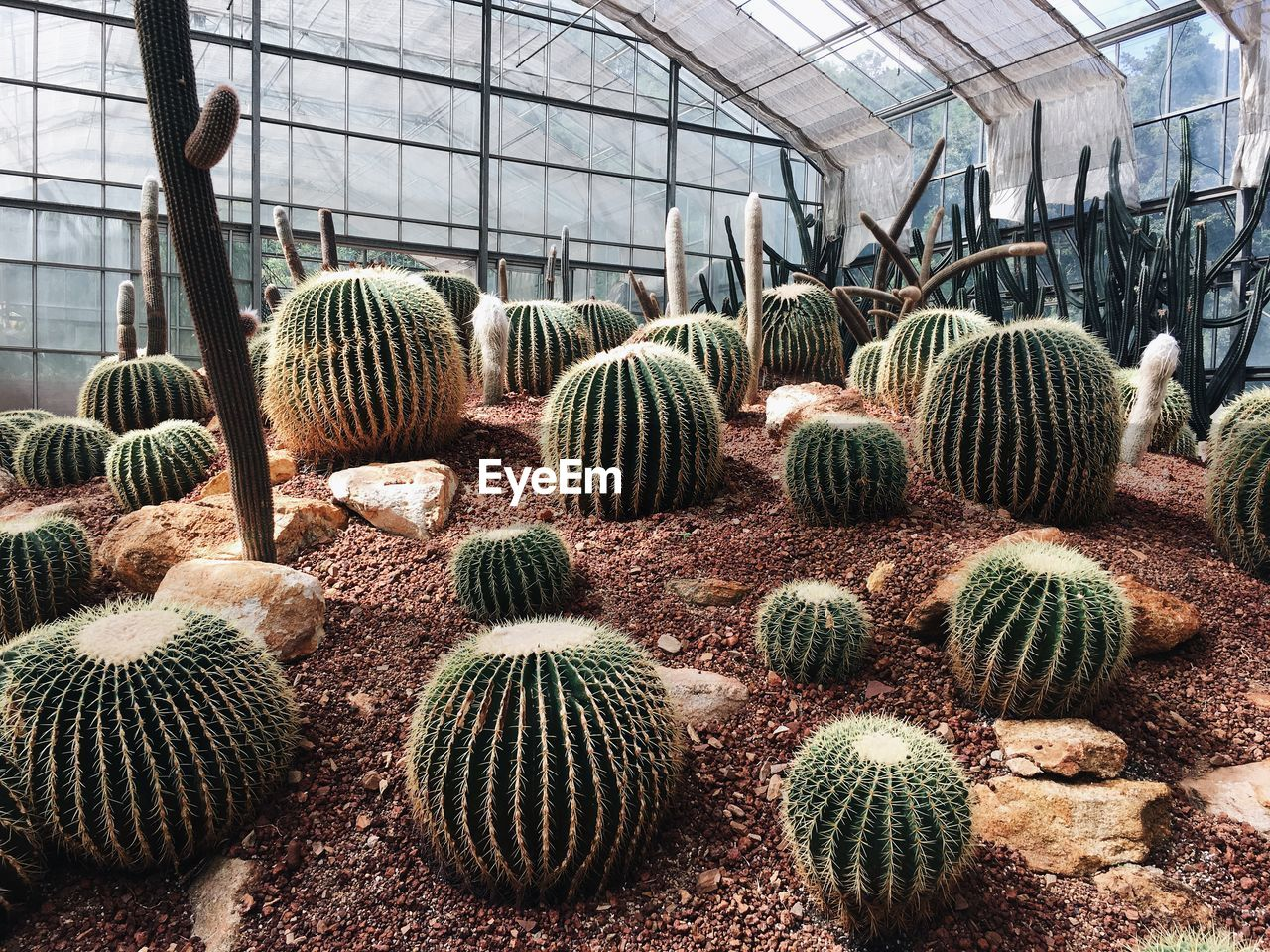 greenhouse, barrel cactus, growth, succulent plant, cactus, plant, day, no people, indoors, nature, plant nursery, botany, green color, agriculture, beauty in nature, thorn, close-up, sharp, abundance