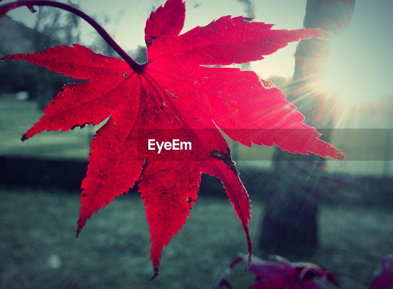 leaf, autumn, red, change, maple leaf, nature, close-up, day, water, beauty in nature, outdoors, focus on foreground, maple, fragility, no people, drop, growth