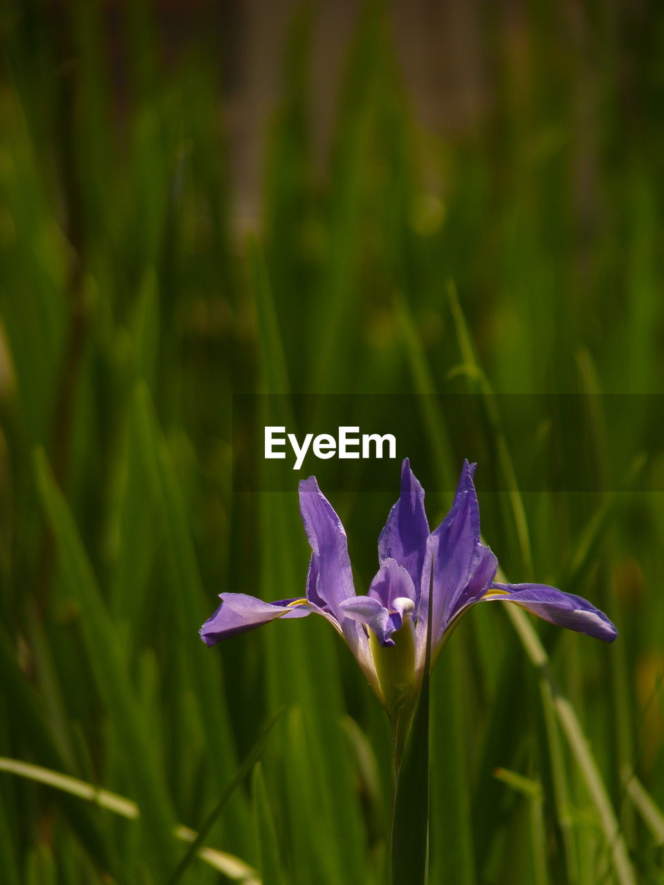 growth, flowering plant, plant, vulnerability, beauty in nature, flower, fragility, freshness, petal, close-up, land, flower head, purple, nature, focus on foreground, inflorescence, field, no people, green color, day, outdoors, iris - plant