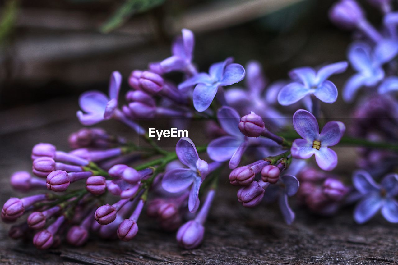 flower, purple, flowering plant, fragility, freshness, plant, vulnerability, beauty in nature, growth, close-up, petal, nature, selective focus, inflorescence, no people, flower head, blossom, outdoors, day, focus on foreground, softness, bunch of flowers, lilac