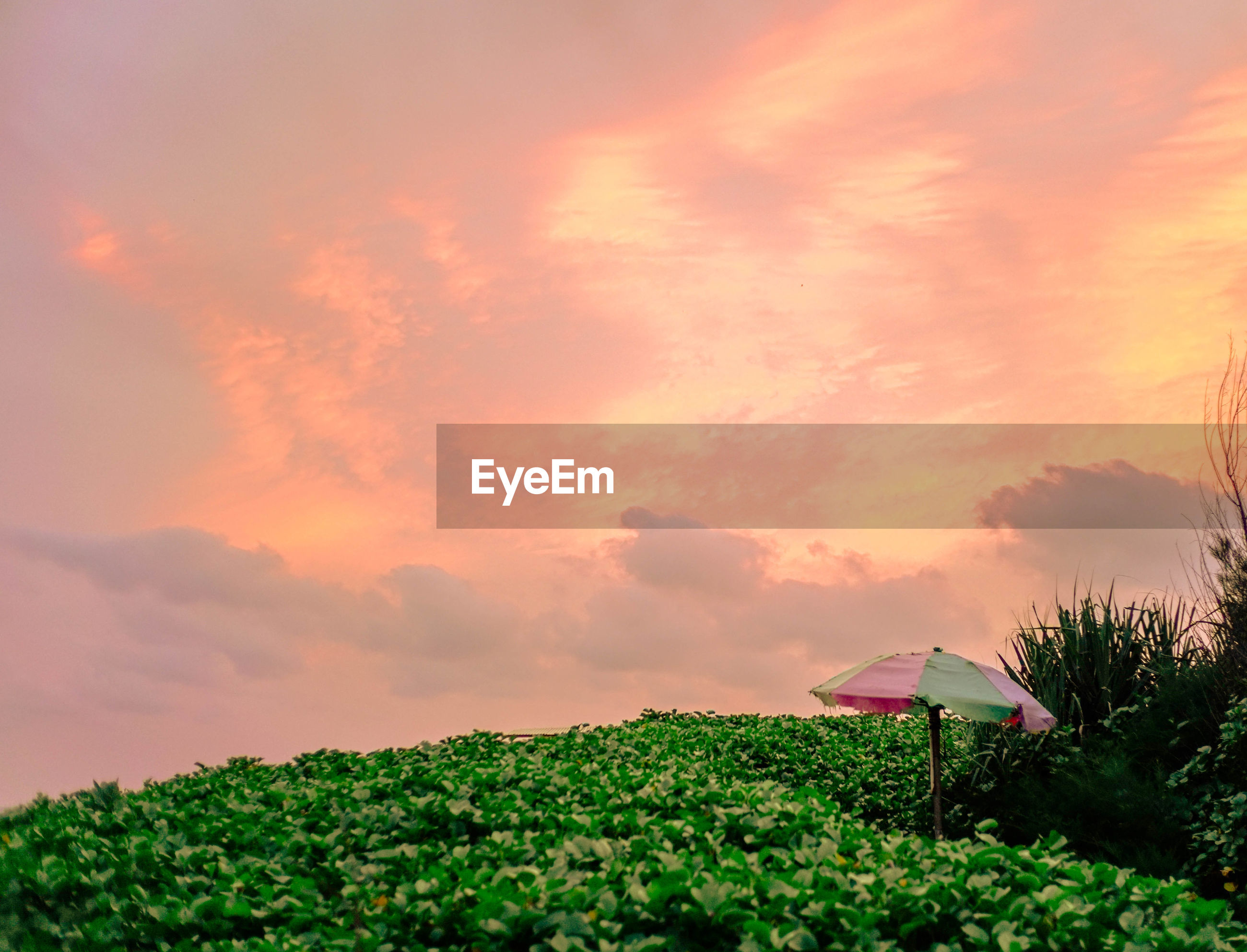 PLANTS GROWING ON LAND AGAINST SKY DURING SUNSET