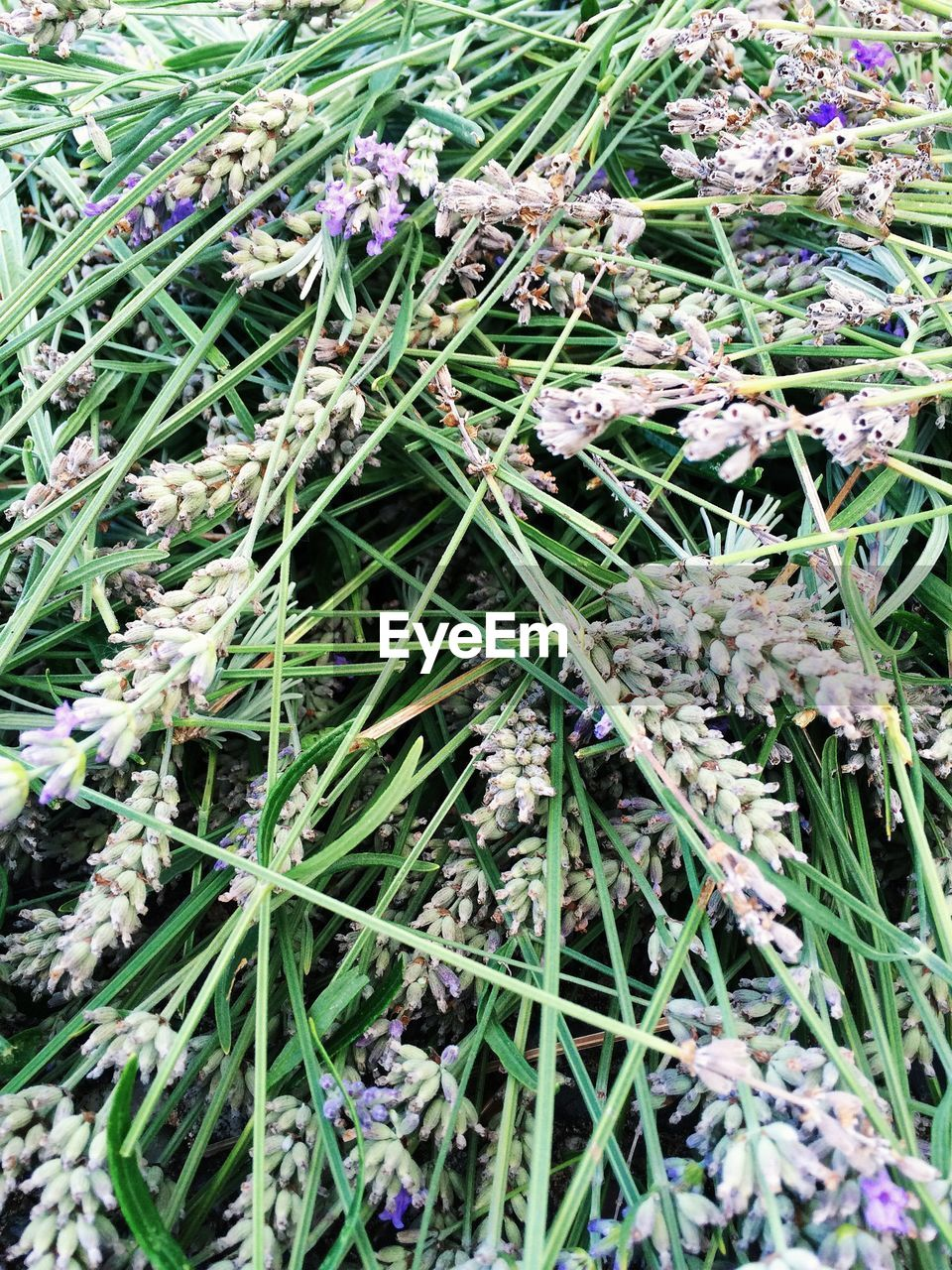 Full Frame Of Dried Lavender Flowers
