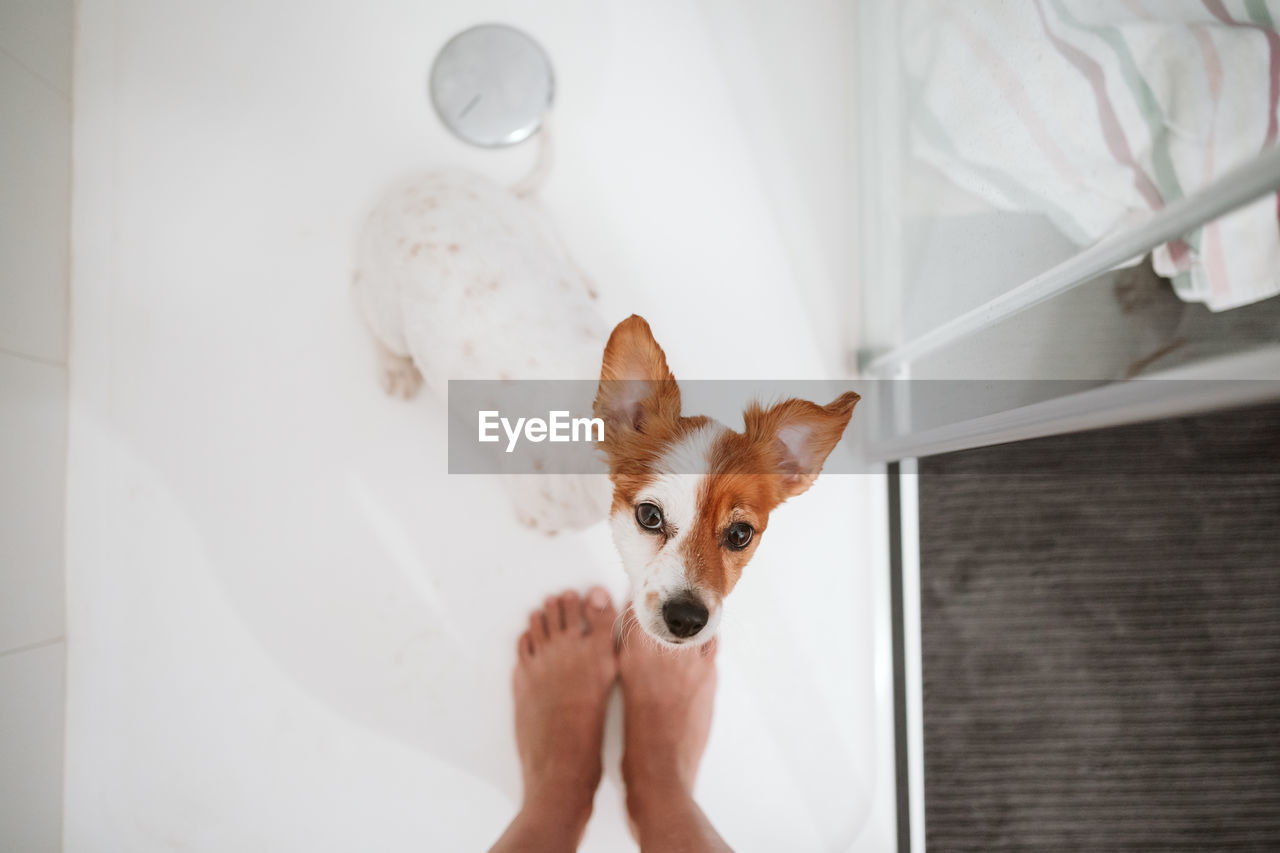 Top view of beautiful jack russell dog sitting in shower for bath time. owner woman feet besides
