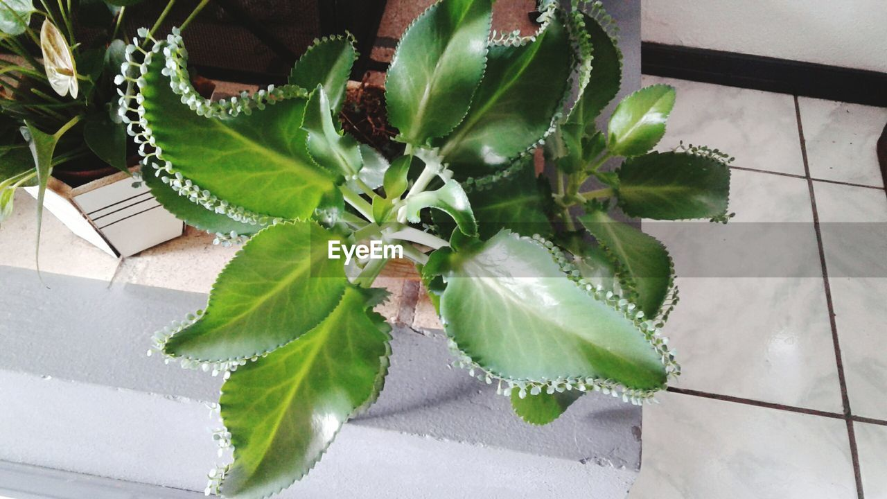 leaf, plant, green color, growth, potted plant, high angle view, no people, nature, indoors, day, beauty in nature, close-up, fragility, freshness