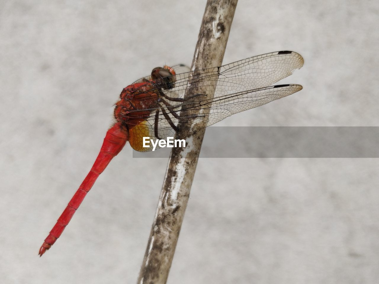 invertebrate, animal themes, insect, animal wildlife, animals in the wild, animal, one animal, animal wing, dragonfly, close-up, focus on foreground, nature, day, no people, outdoors, twig, zoology, wall - building feature, side view, red, animal eye