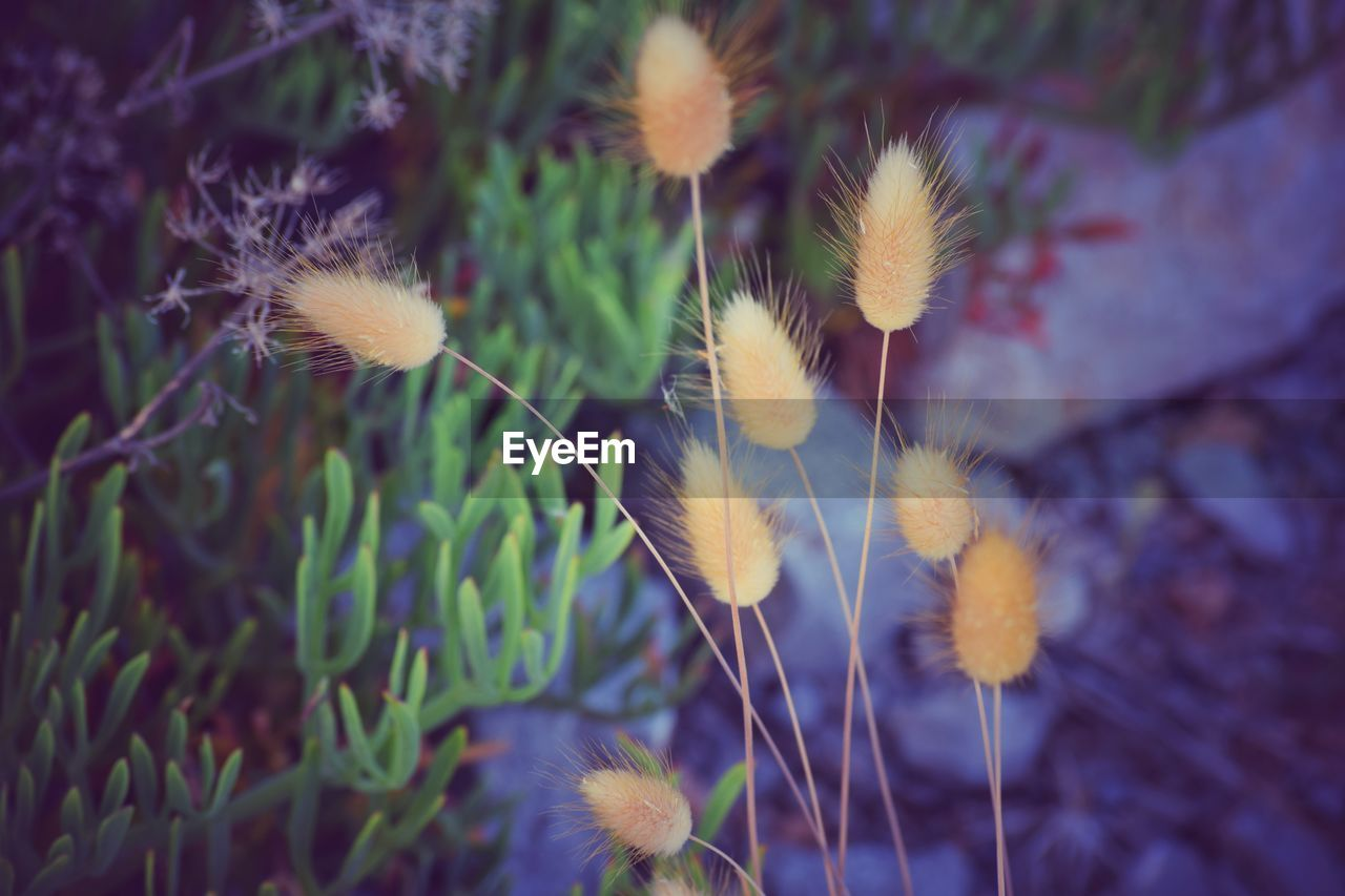 plant, growth, flower, fragility, flowering plant, vulnerability, beauty in nature, freshness, close-up, nature, no people, day, selective focus, flower head, inflorescence, softness, focus on foreground, dandelion, yellow, outdoors, dandelion seed