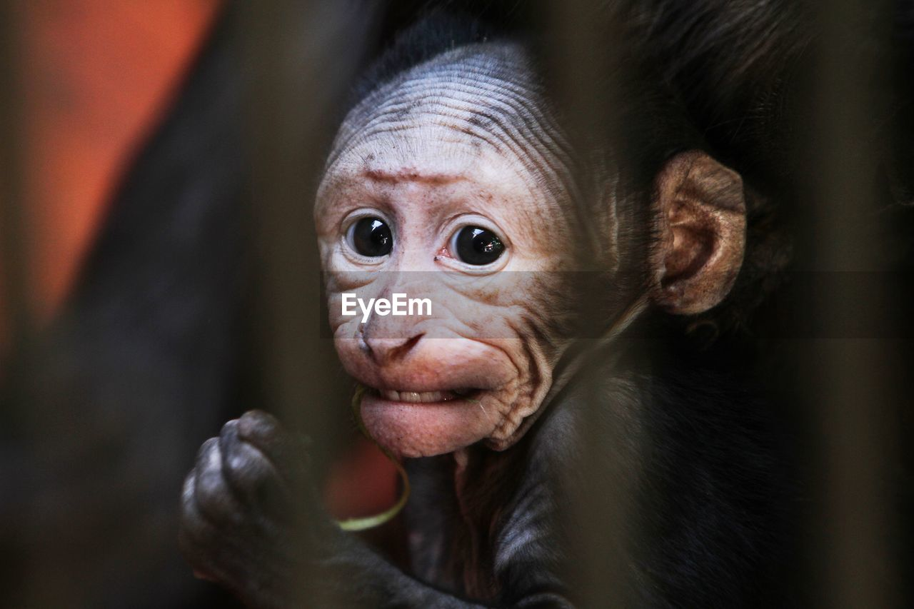 primate, mammal, animal wildlife, vertebrate, portrait, one animal, ape, animals in the wild, looking at camera, young animal, close-up, people, animal body part, selective focus, day, animal eye