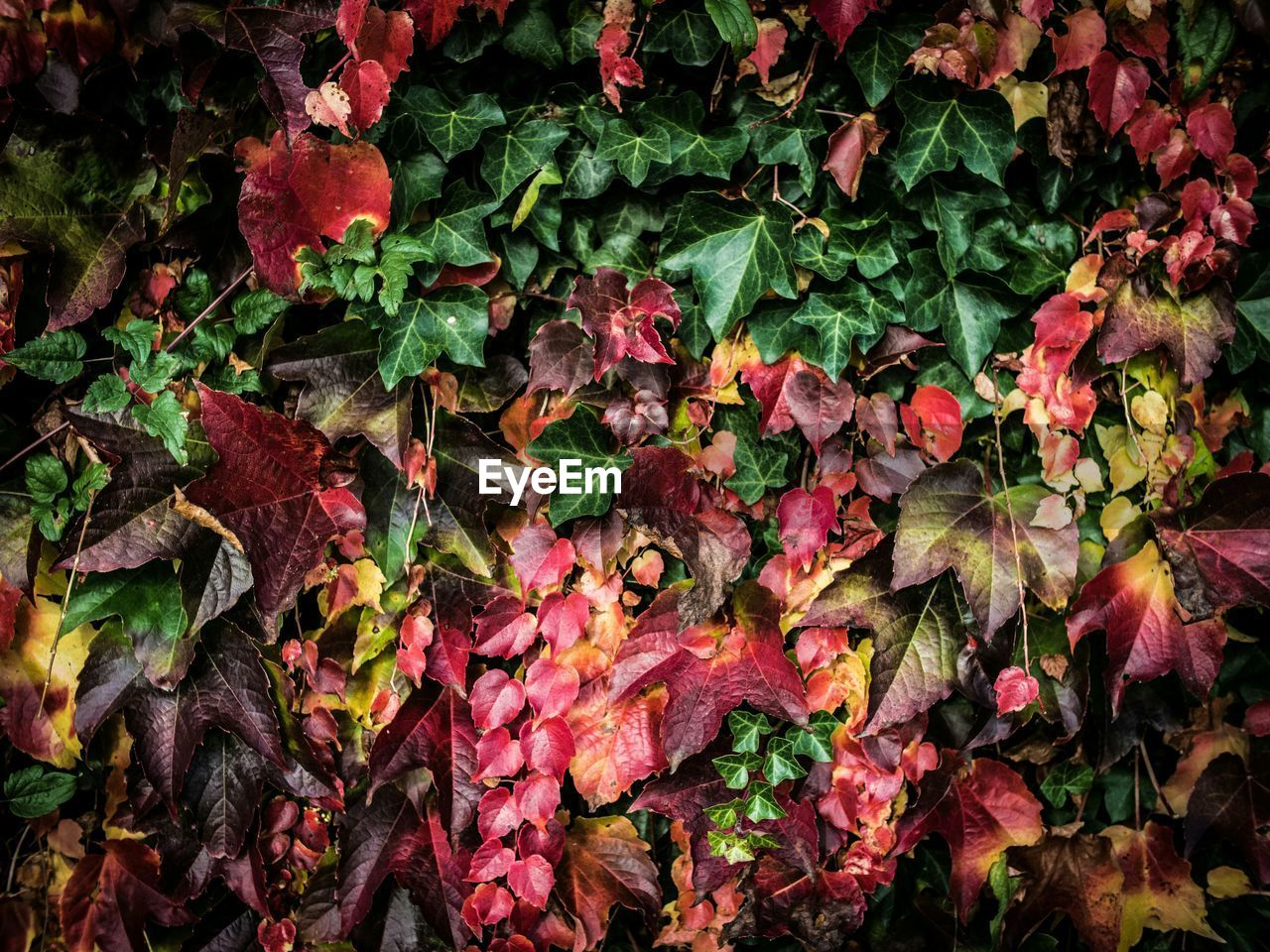 Full Frame Shot Of Ivy During Autumn