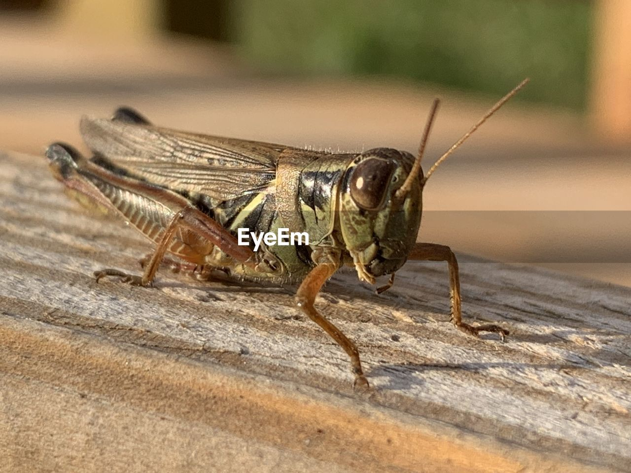 animal themes, animal, one animal, animals in the wild, animal wildlife, close-up, invertebrate, day, insect, no people, wood - material, focus on foreground, animal body part, grasshopper, selective focus, sunlight, nature, animal antenna, side view, outdoors