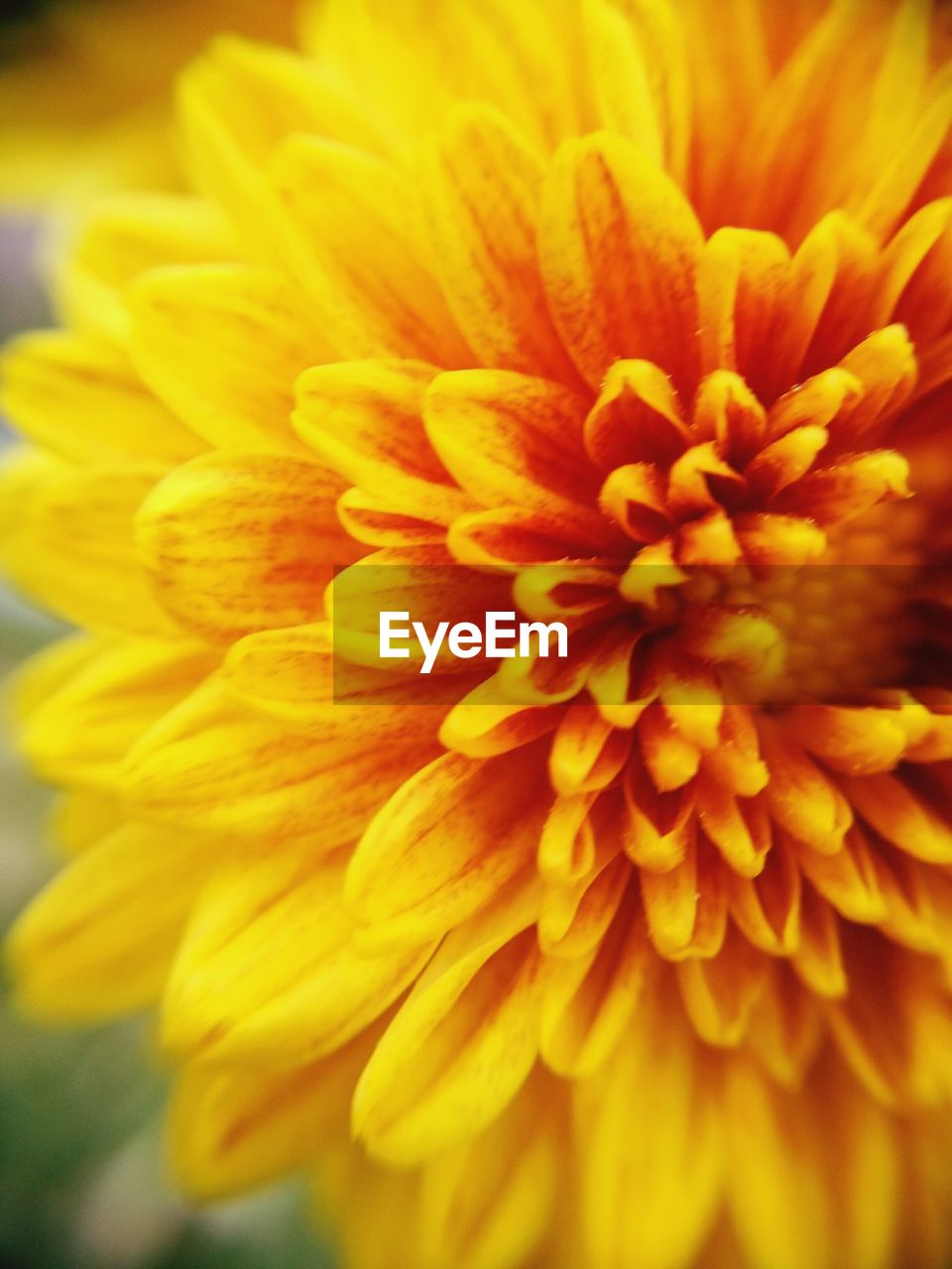 flower, petal, fragility, beauty in nature, flower head, freshness, nature, growth, close-up, yellow, no people, pollen, backgrounds, day, outdoors, plant, blooming