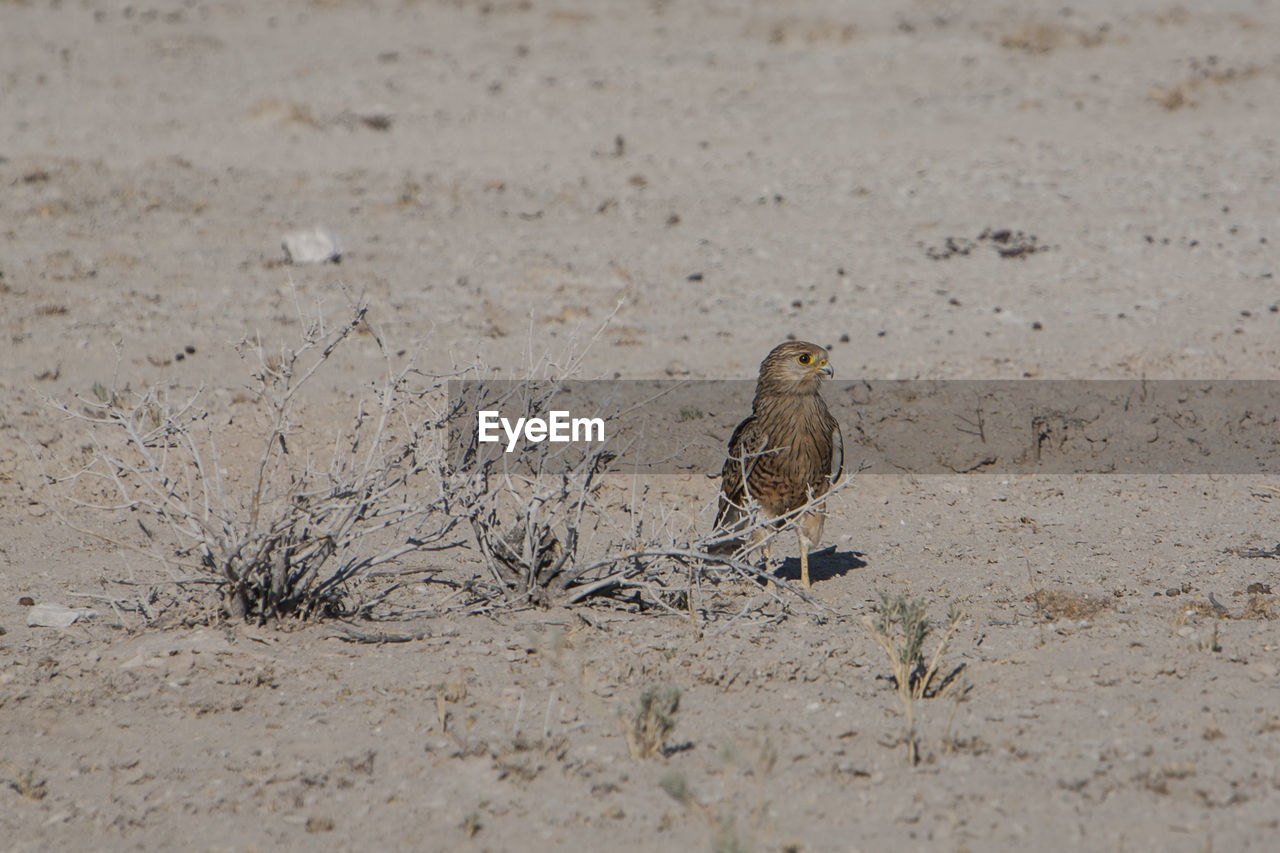animal themes, animals in the wild, animal wildlife, vertebrate, animal, bird, one animal, land, nature, selective focus, day, perching, field, no people, sand, outdoors, full length, zoology, looking away, sunlight, arid climate