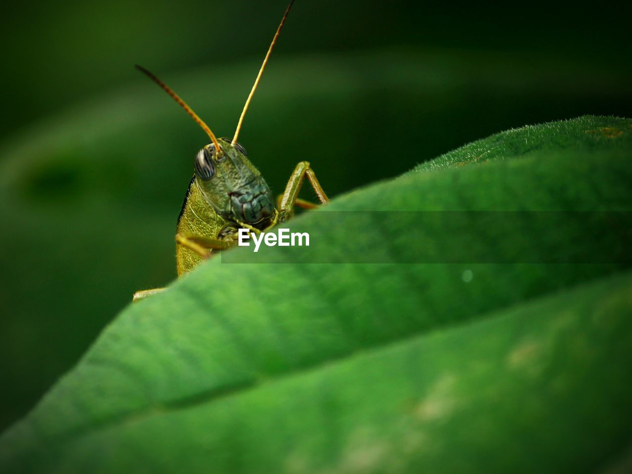 invertebrate, insect, animal, one animal, animal wildlife, animal themes, green color, animals in the wild, leaf, plant part, selective focus, close-up, animal body part, no people, animal antenna, day, nature, plant, zoology, grasshopper, animal eye