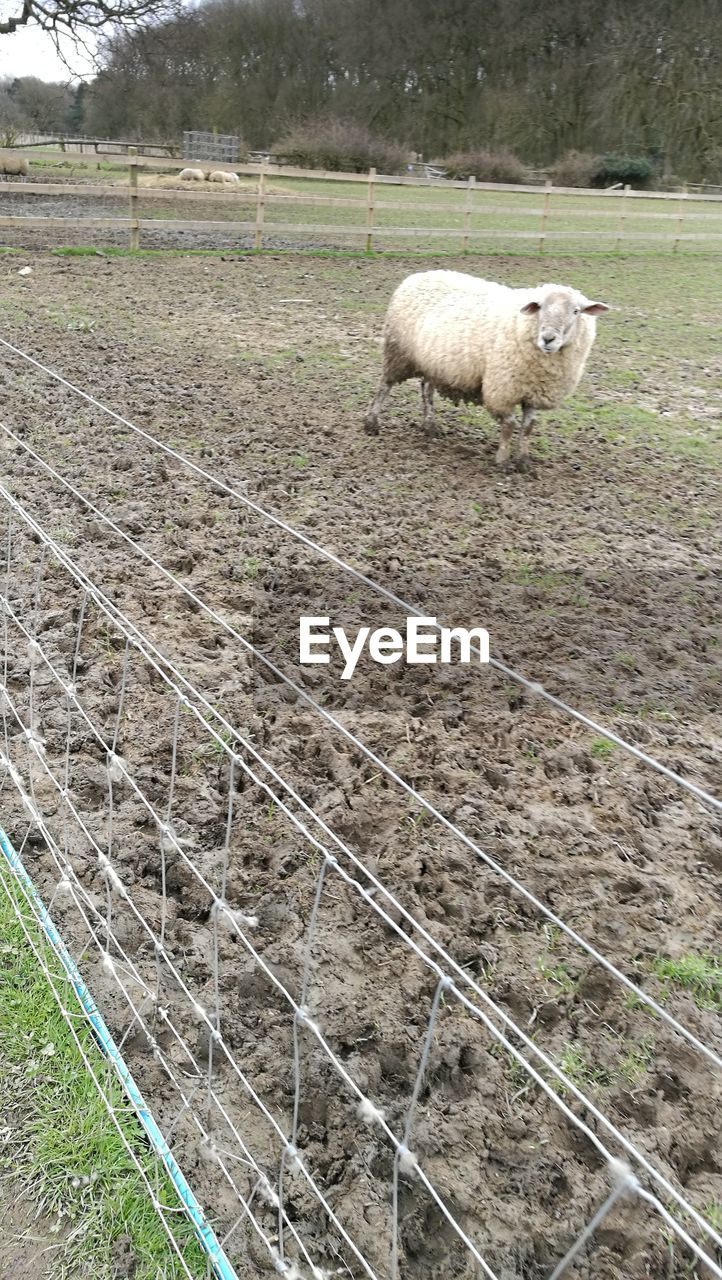 mammal, animal themes, animal, one animal, domestic, pets, domestic animals, livestock, sheep, vertebrate, field, land, day, boundary, nature, fence, grass, barrier, no people, plant, lamb, outdoors, herbivorous