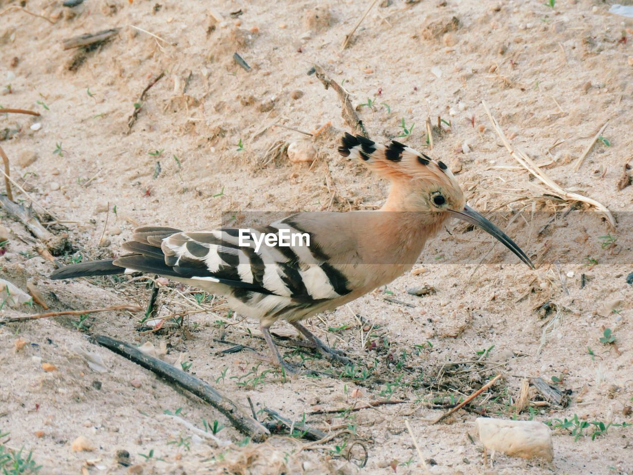 animal wildlife, animals in the wild, one animal, vertebrate, no people, land, nature, day, bird, field, mammal, outdoors, striped, rock - object, rock, plant, high angle view, herbivorous, arid climate, climate