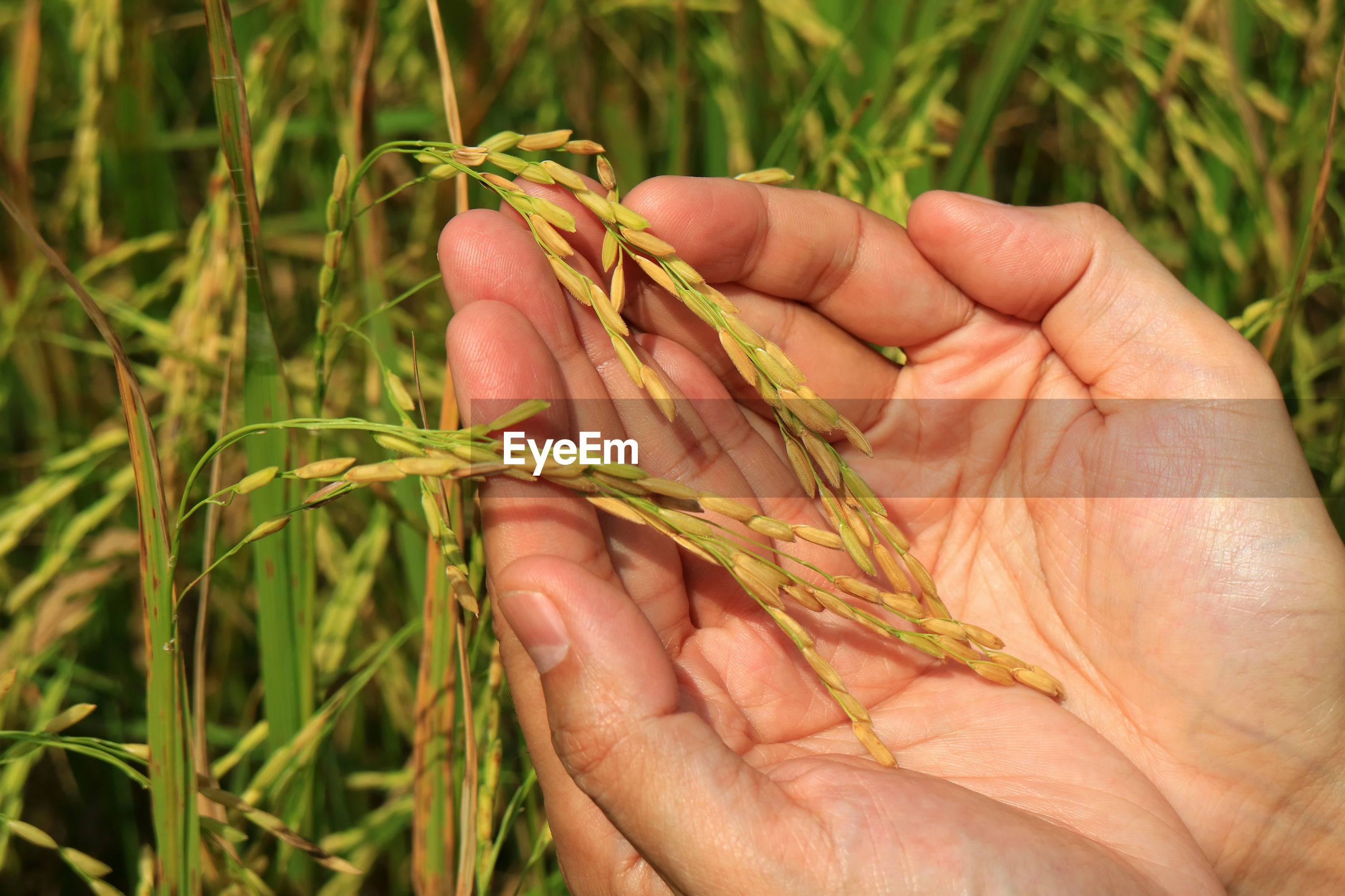 Close-up of cropped hand holding cereal plant at farm