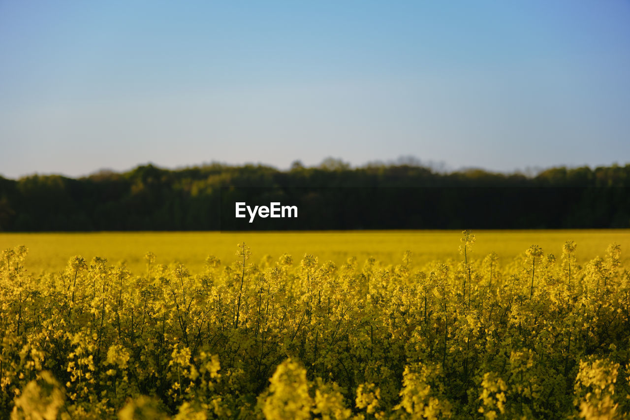 SCENIC VIEW OF FIELD AGAINST YELLOW FLOWERS