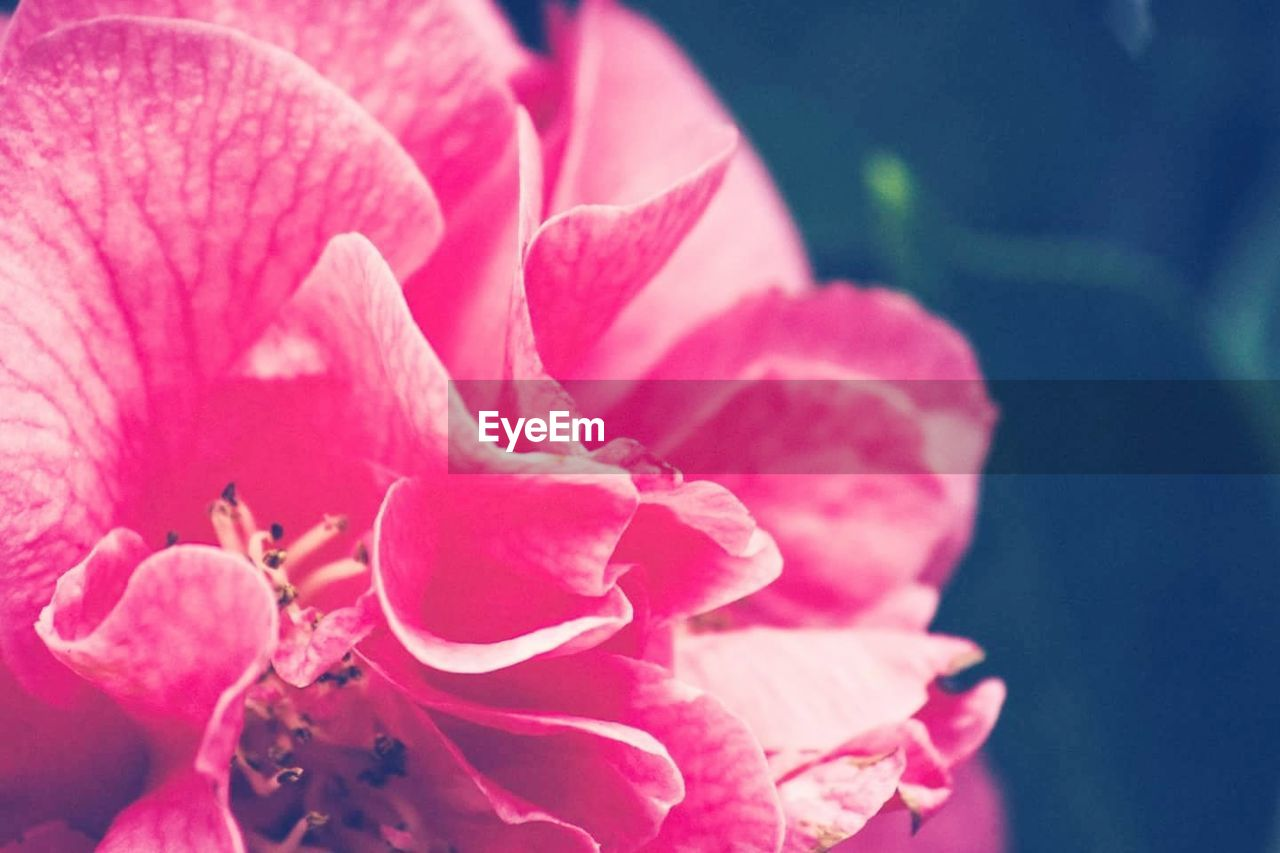 flower, petal, nature, beauty in nature, fragility, flower head, growth, pink color, plant, close-up, freshness, no people, outdoors, day, stamen, blooming
