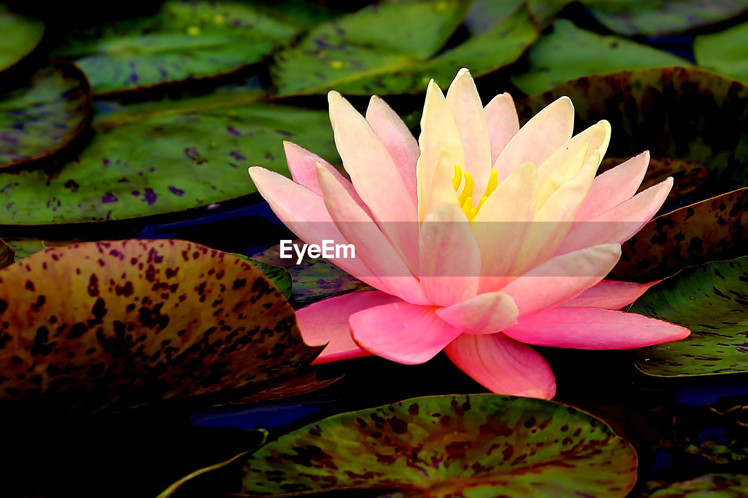 Beautiful pink water lily with leaves on lake