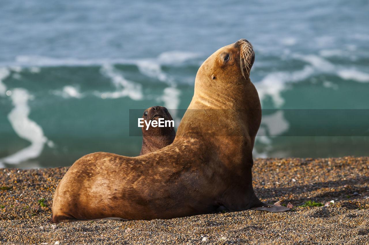 Sea lions on sand at beach