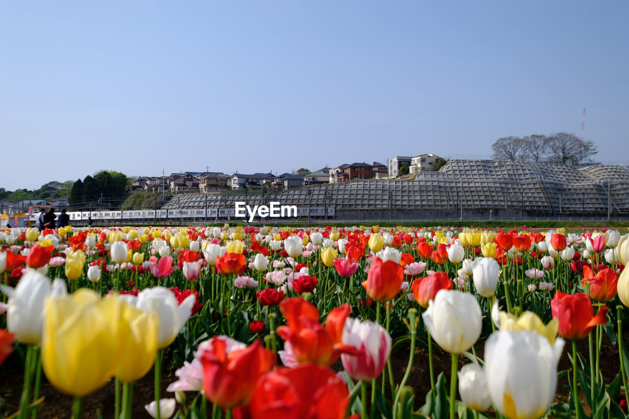 flowering plant, flower, plant, freshness, nature, growth, sky, beauty in nature, fragility, vulnerability, clear sky, built structure, architecture, day, no people, red, building exterior, tulip, flower head, land, outdoors, springtime, flowerbed