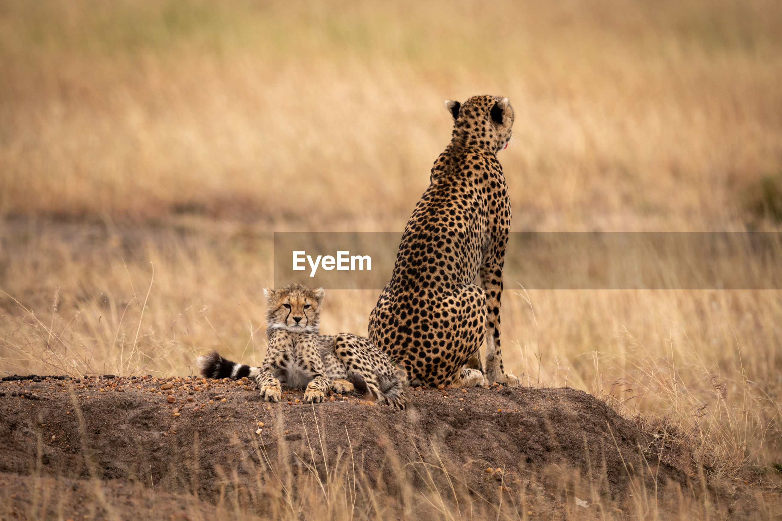 Cheetah with cub in forest