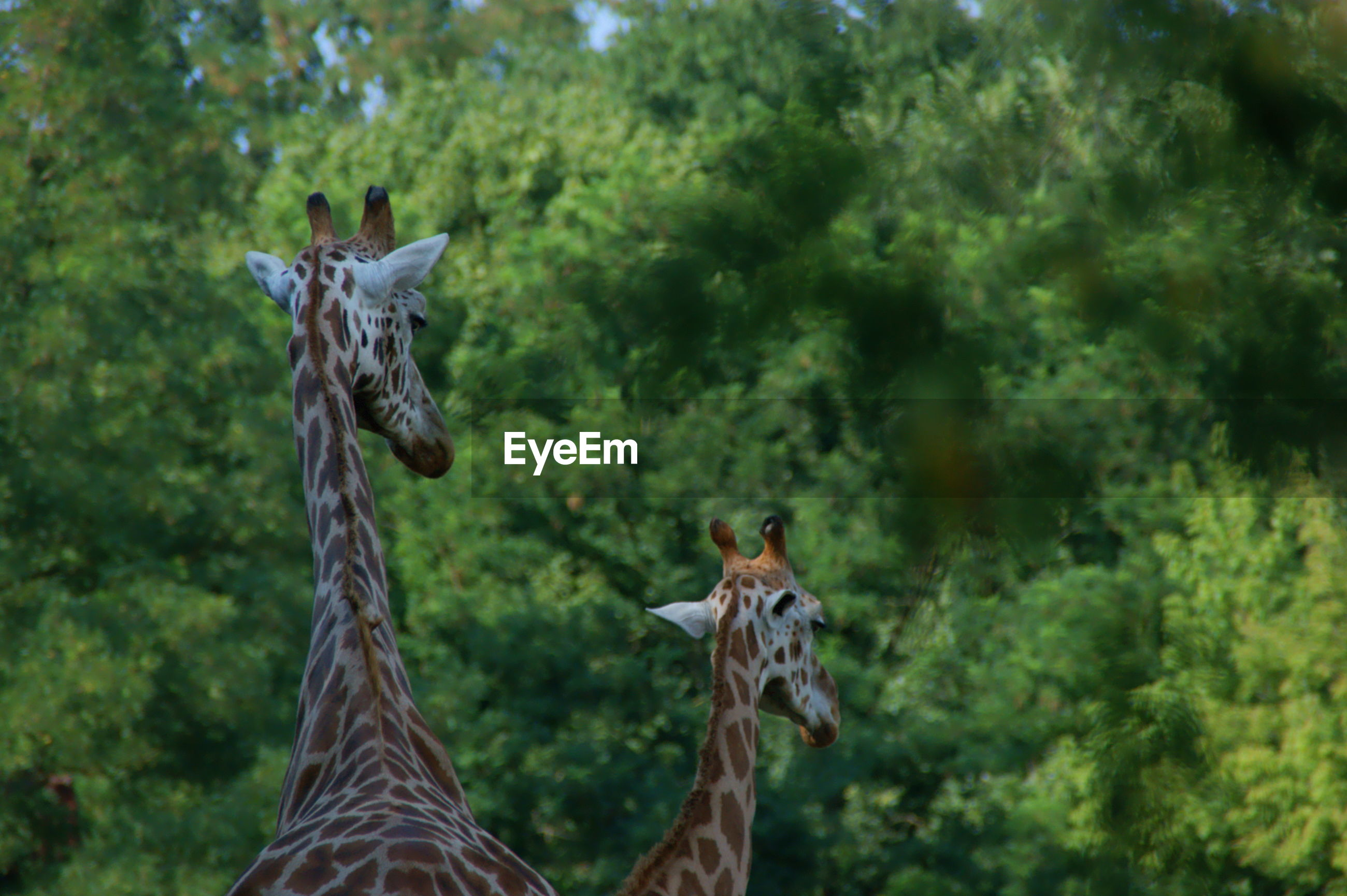 Two giraffes in a forest
