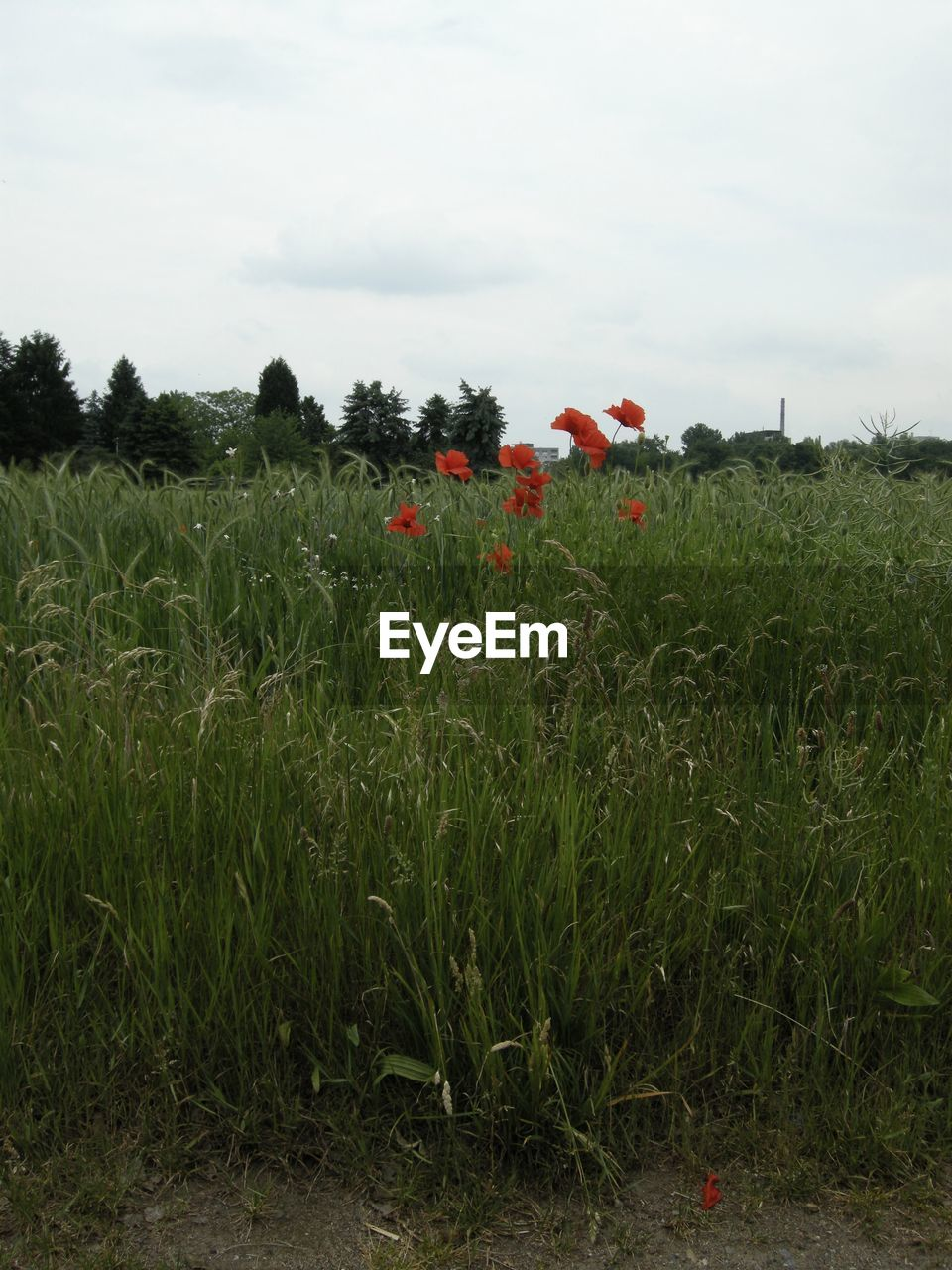 growth, grass, field, plant, sky, nature, flower, red, vegetation, poppy, outdoors, landscape, beauty in nature, no people, day, tree, freshness