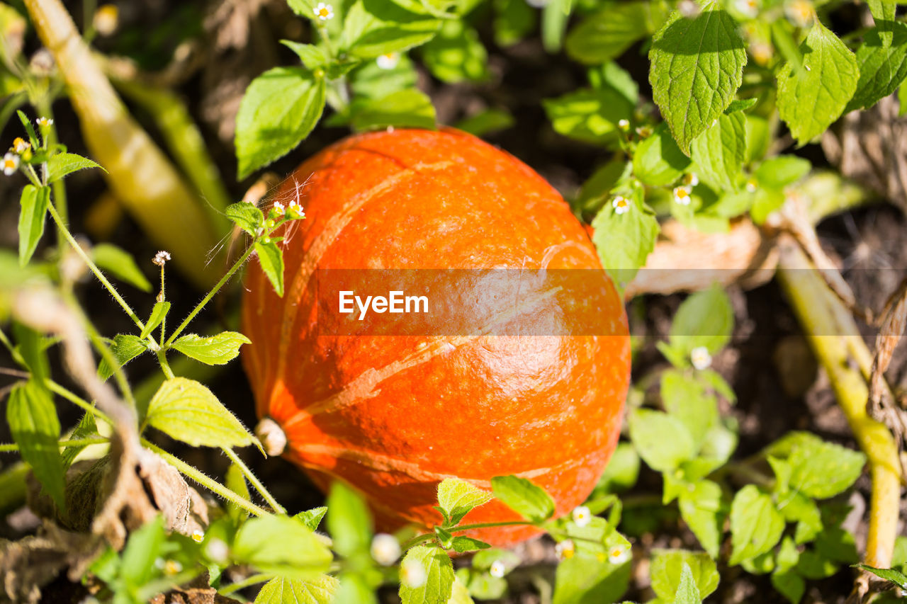 orange color, food, food and drink, leaf, plant part, plant, close-up, nature, growth, freshness, healthy eating, no people, fruit, wellbeing, day, green color, focus on foreground, sunlight, outdoors, beauty in nature, ripe, orange