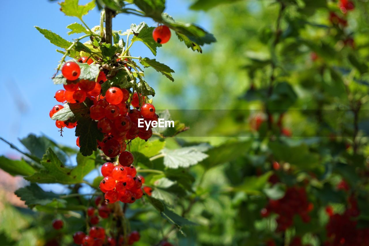 red, fruit, growth, rowanberry, food and drink, nature, tree, outdoors, focus on foreground, no people, day, growing, beauty in nature, green color, plant, rose hip, leaf, freshness, close-up, food, branch