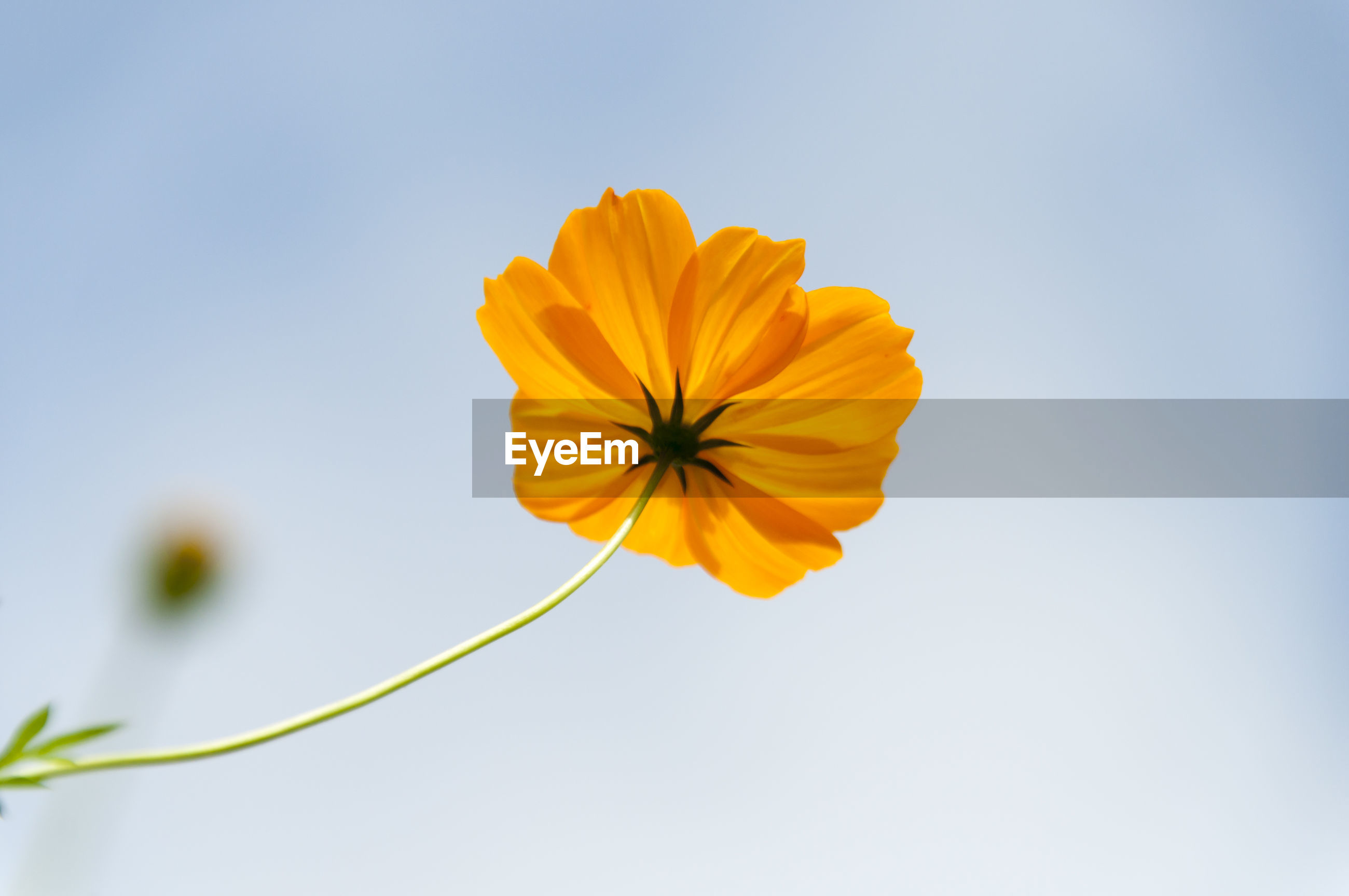 CLOSE-UP OF YELLOW COSMOS FLOWER BLOOMING AGAINST SKY
