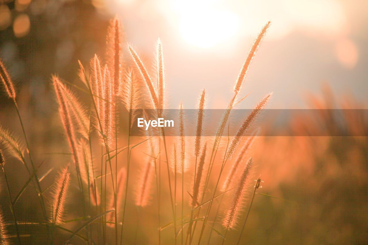 growth, nature, sun, beauty in nature, plant, lens flare, sunlight, outdoors, tranquil scene, no people, field, tranquility, sunset, freshness, close-up, scenics, flower, day, rural scene, sky